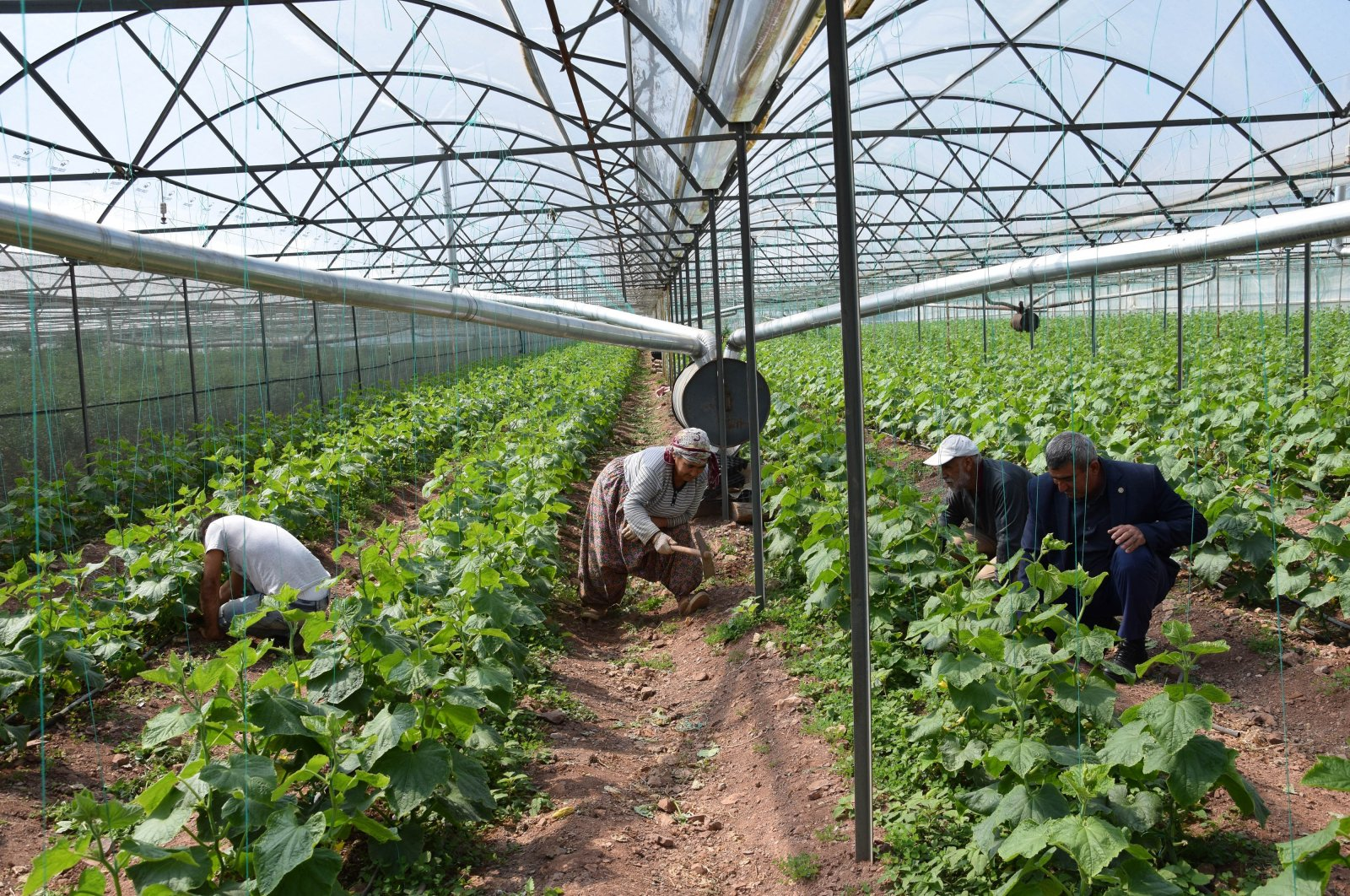 Farmers working at tomato plants in a greenhouse in Antalya, southern Turkey, on Wednesday, March 25, 2020. (IHA Photo)