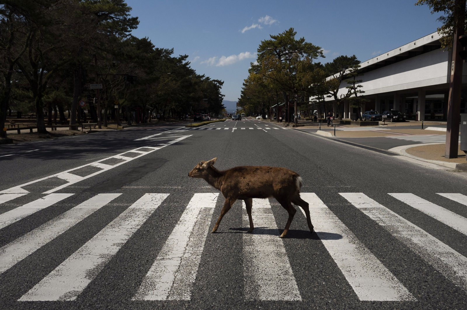 A deer walks across a pedestrian crossing in Nara, Japan, Thursday, March 19, 2020. (AP Photo)
