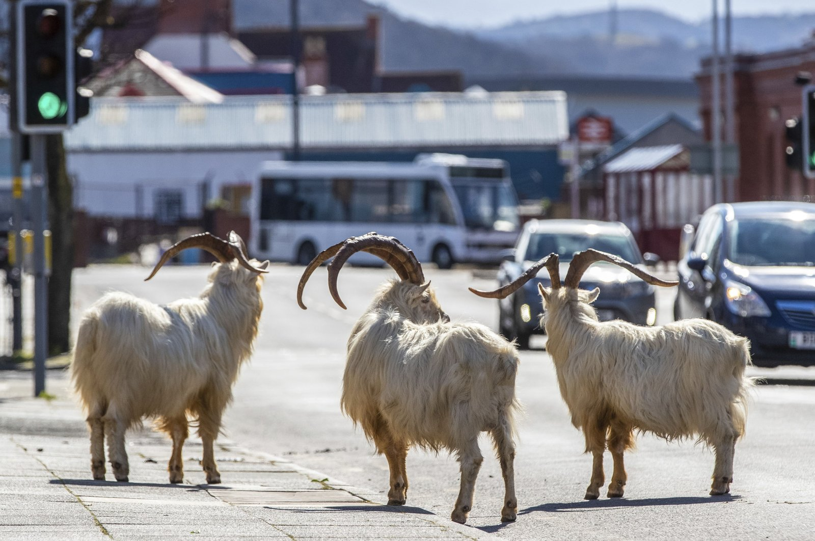 A herd of goats walk the quiet streets in Llandudno, North Wales, Tuesday, March 31, 2020. (AP Photo)