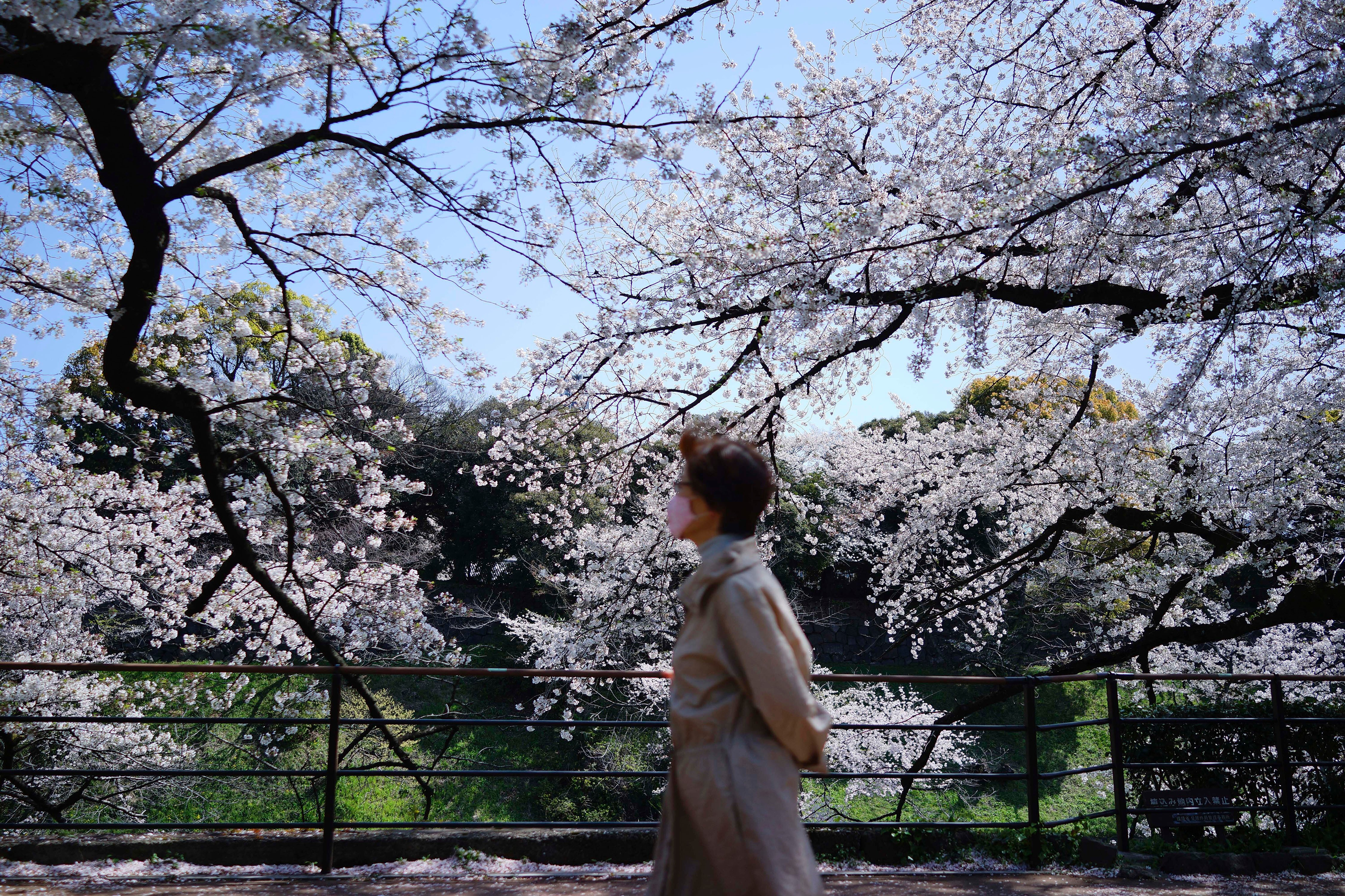 A woman wearing a protective face mask walks past blooming cherry blossom trees Thursday, April 2, 2020, in Tokyo. (AP Photo)