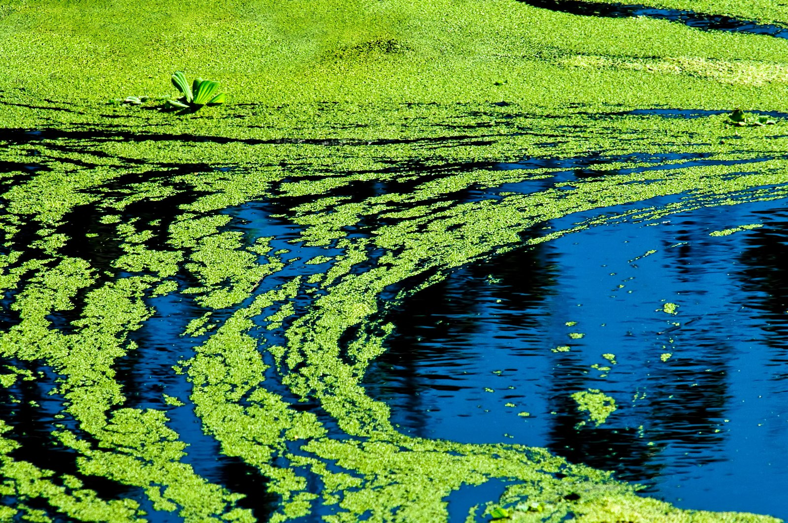 Harmful blue-green algae has been found to reduce cellular activity. (iStock Photo)