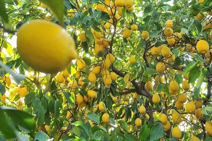 Lemon exports from Turkey will now be subject to registration to meet domestic demand. (AA Photo)