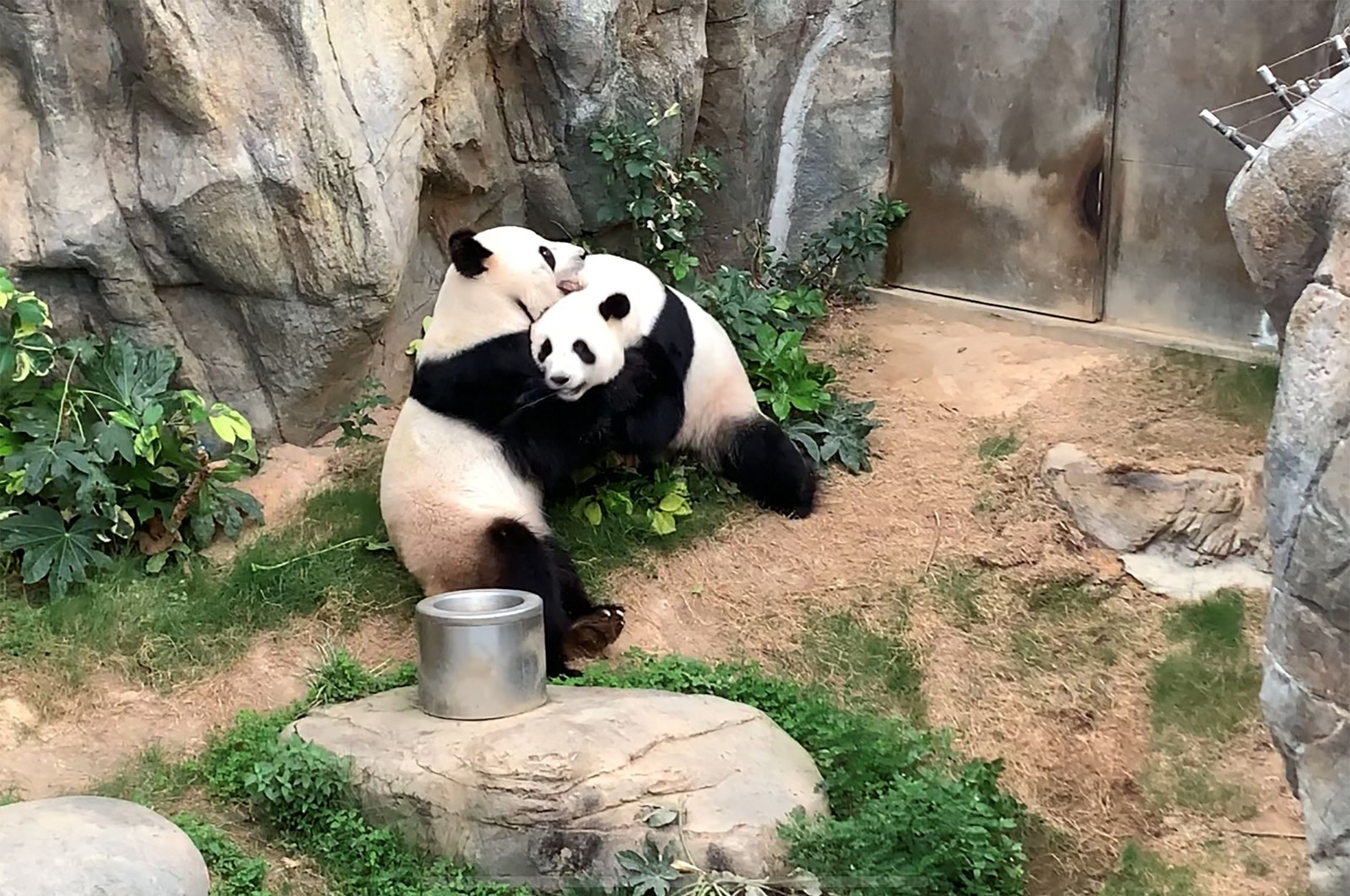This handout photo provided by Ocean Park Hong Kong shows giant pandas Ying Ying and Le Le before mating at Ocean Park in Hong Kong on Monday, April 6, 2020. (AFP Photo)