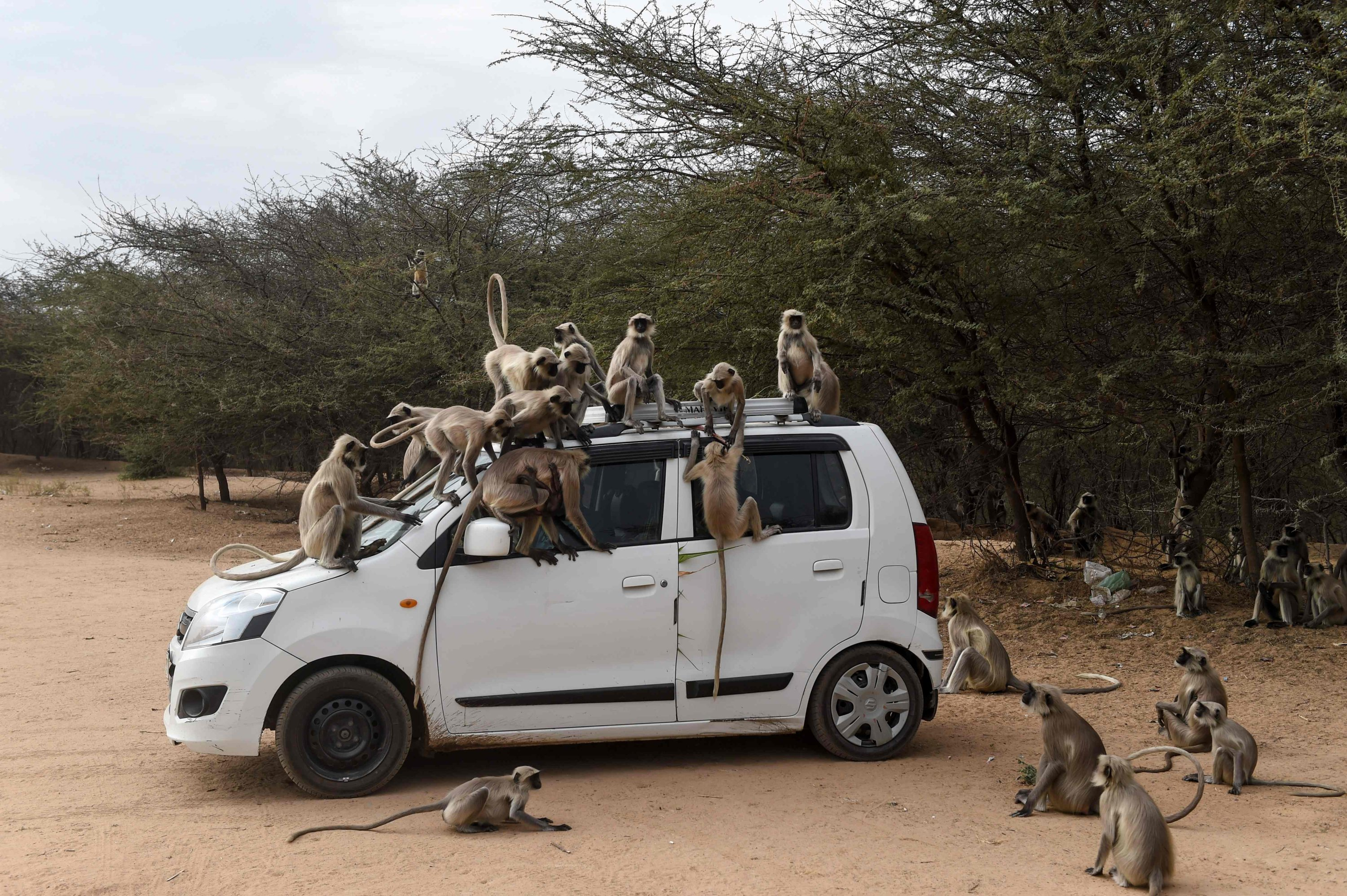 Monkeys climb on a car as they are being fed with potatoes by a resident at Ode village, near Ahmedabad, March 25, 2020. (AFP Photo)