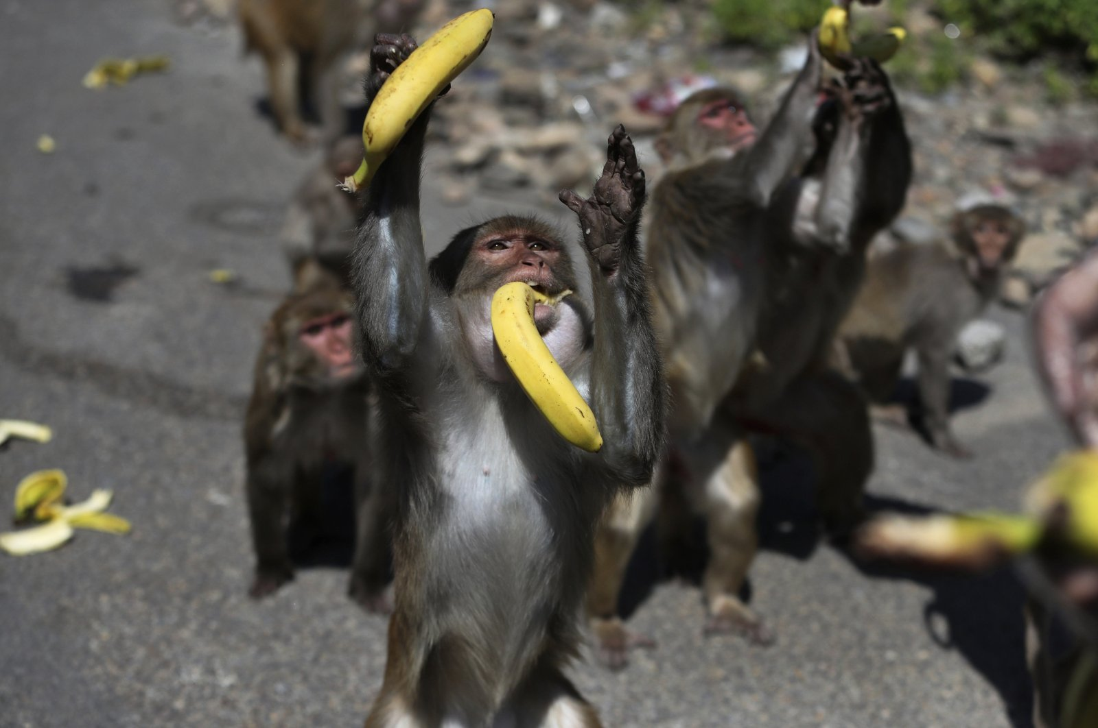 A monkey reaches out to grab bananas as a man feeds a group of monkeys during lockdown to prevent the spread of new coronavirus in Jammu, India, Wednesday, April 8, 2020. (AP Photo)