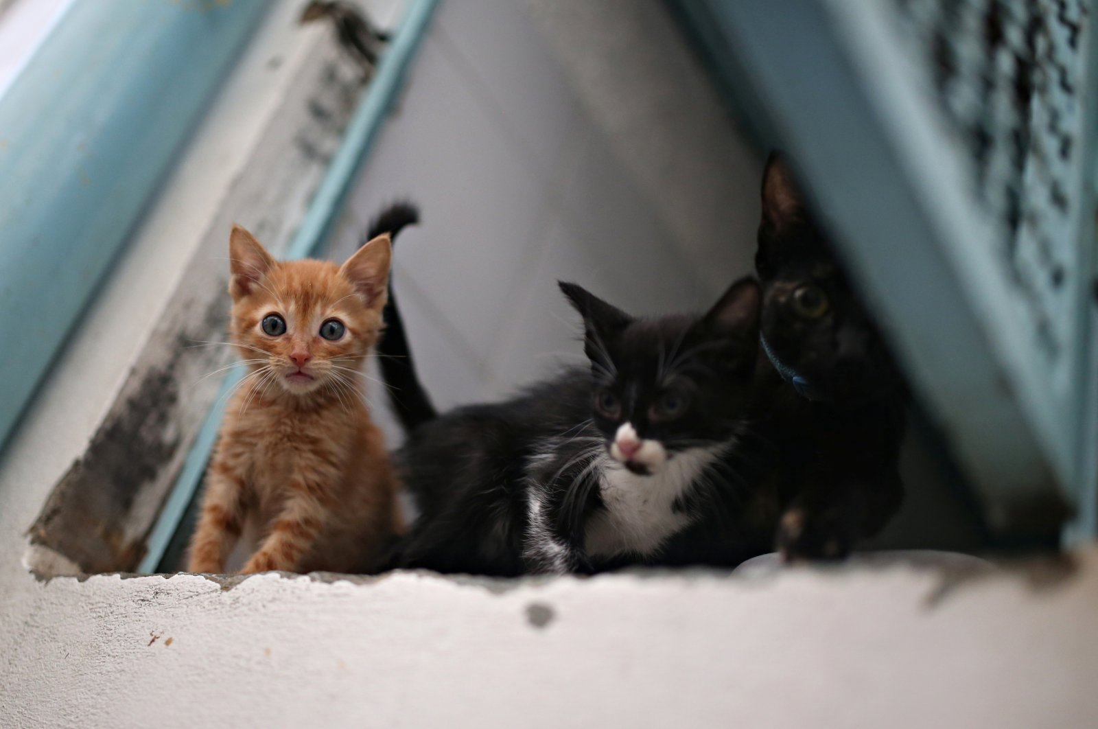Cats that are under the care and protection of the Mayor's Animal Care Unit office are seen inside a cage at their facilities amid the coronavirus outbreak in Bogota, Colombia, April 2, 2020. (Reuters Photo)