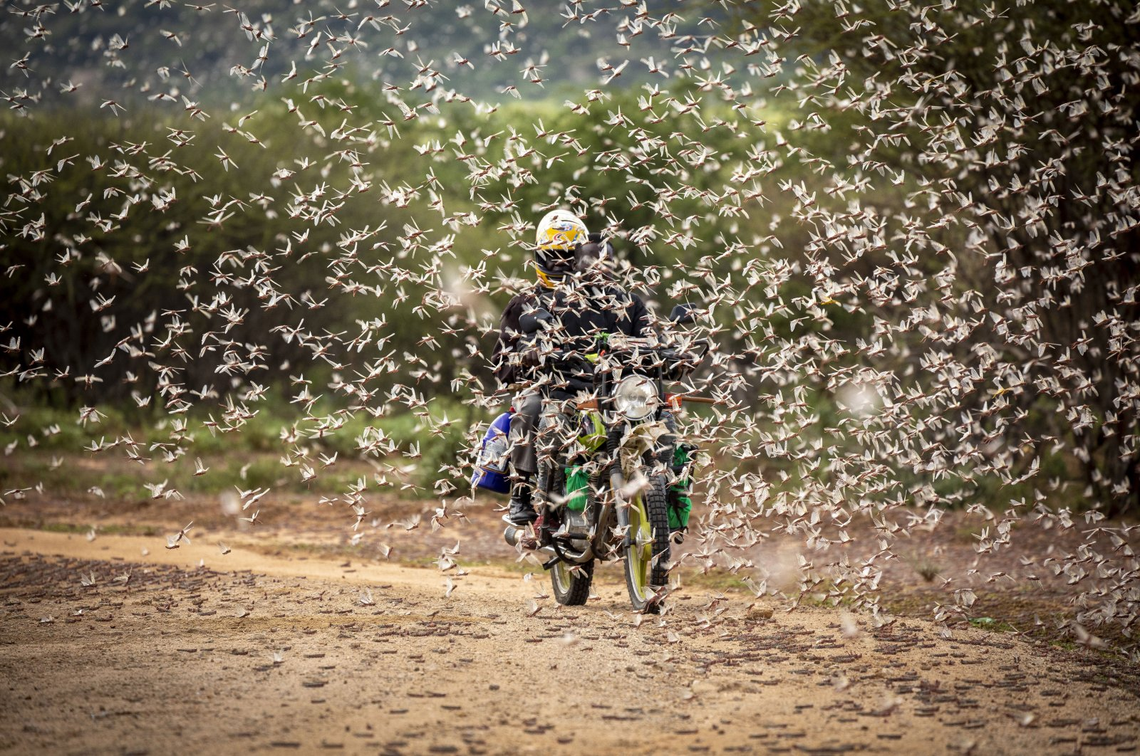 A motorcyclist rides through a swarm of desert locusts, Kipsing, Kenya, March 31, 2020. (AFP Photo)