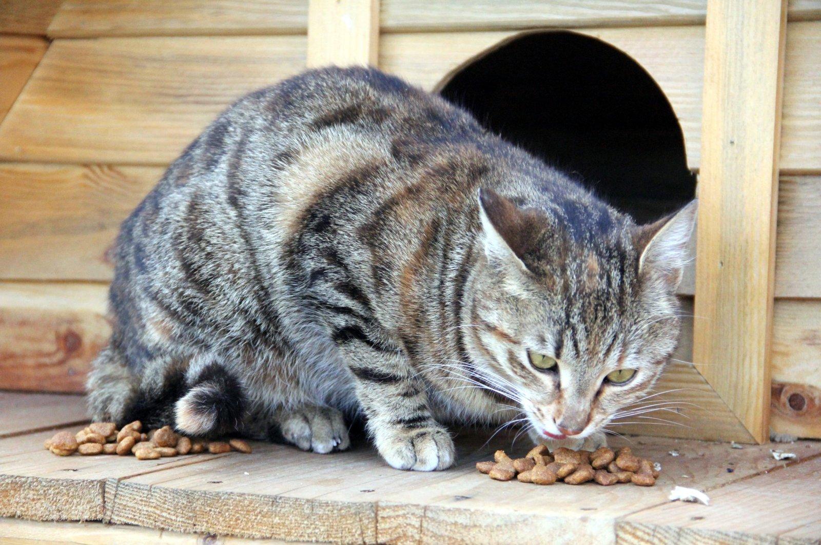 A cat enjoys its meal left by village head of Karaçayır neighborhood, in Bolu, on April 11, 2020. (DHA Photo)