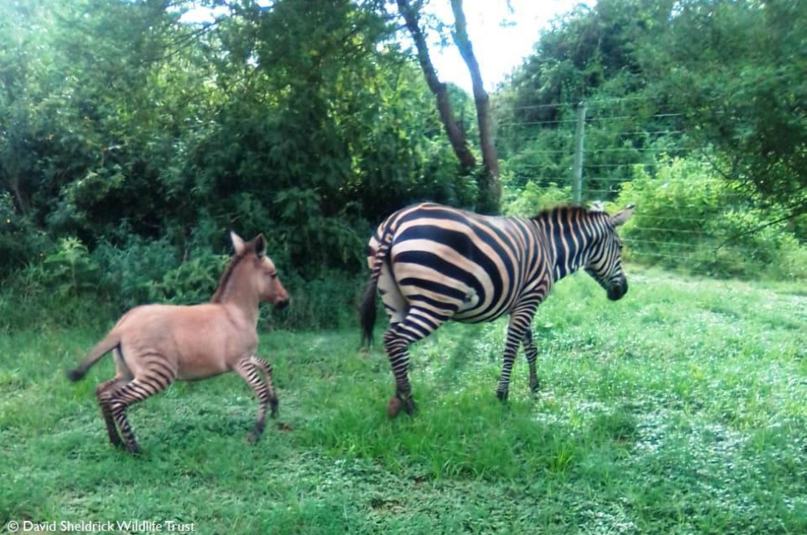 A zebra mother and her zonkey foal are seen in Chyulu Hills National Park, Kenya, in this photo shared on April 8, 2020. (Photo by Sheldrick Wildlife Trust via Facebook)