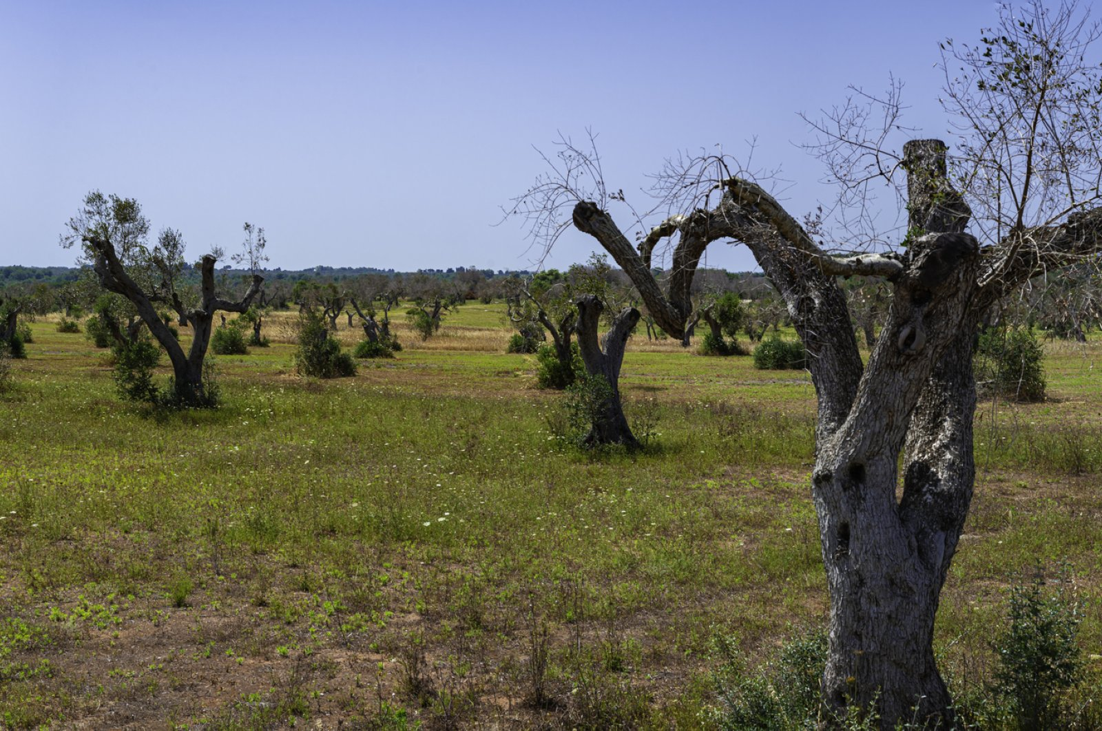 Xylella-infested olive trees in Salento, South Italy. (iStock Photo)