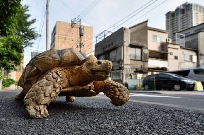 A turtle is seen on the streets of Tokyo, Japan, in this 2015 photo. (AFP File Photo)
