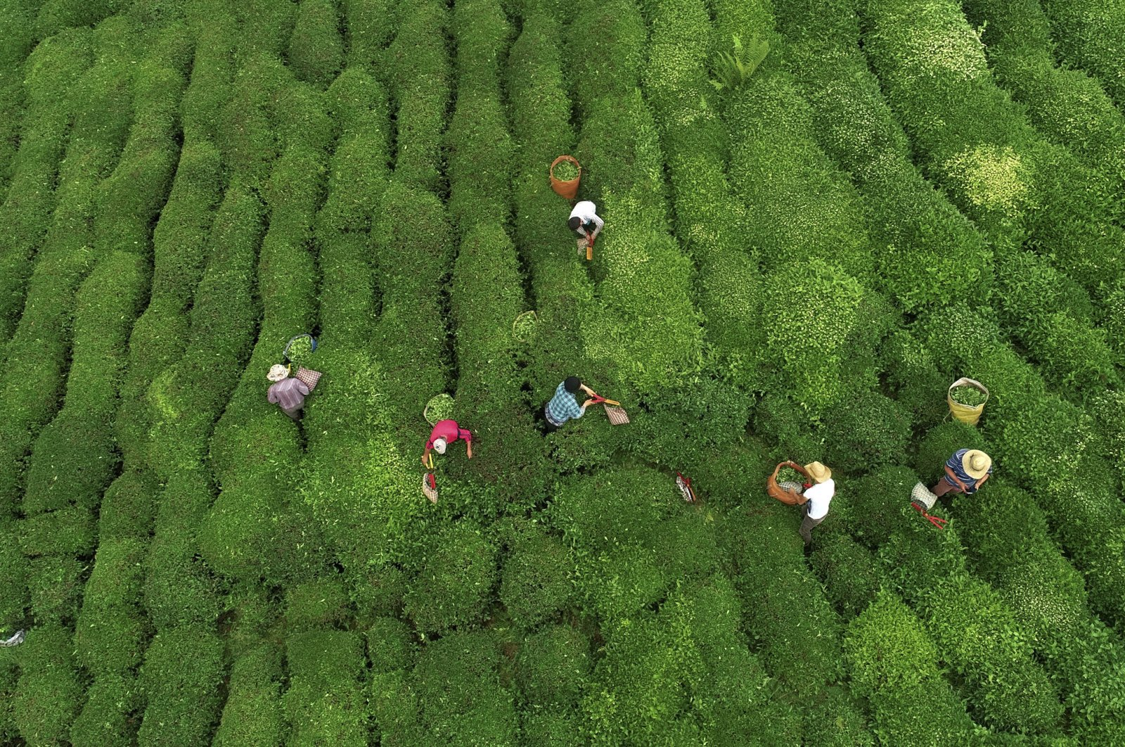 Locals harvest tea in northern Rize, Turkey, May 30, 2018. (AA Photo)