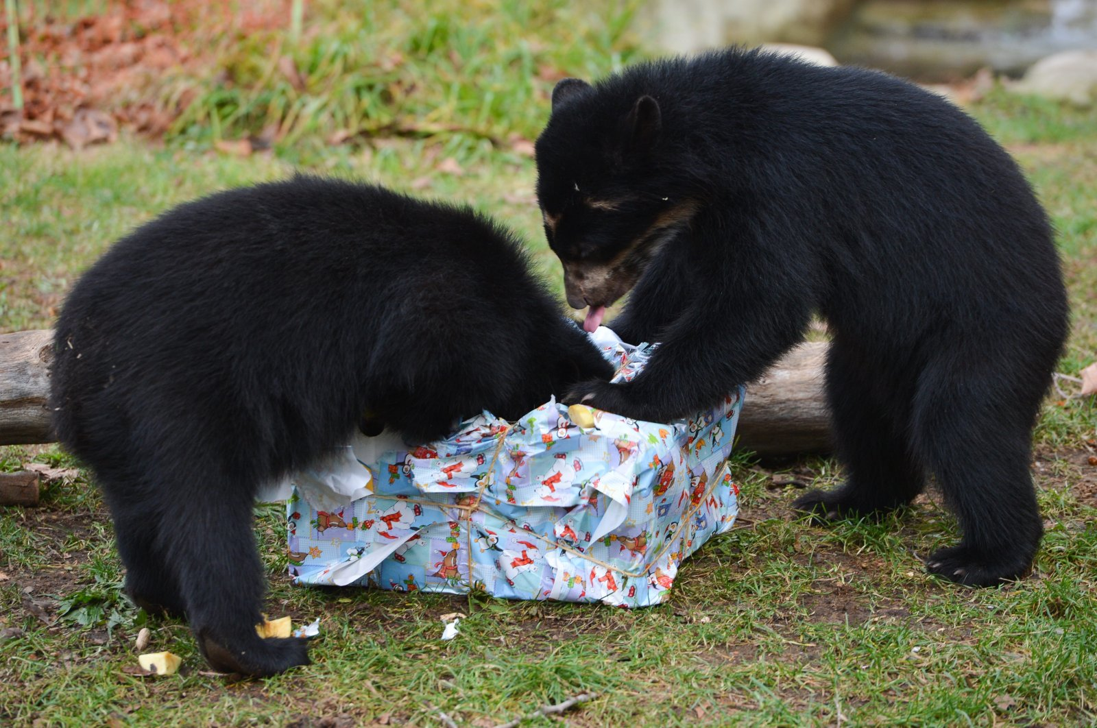 Andean bear twins Tupa und Sonco  open their Christmas gift box with fruit and vegetables in their enclosure in the zoo in Frankfurt, Germany Thursday Dec. 25, 2014.  (AP Photo)