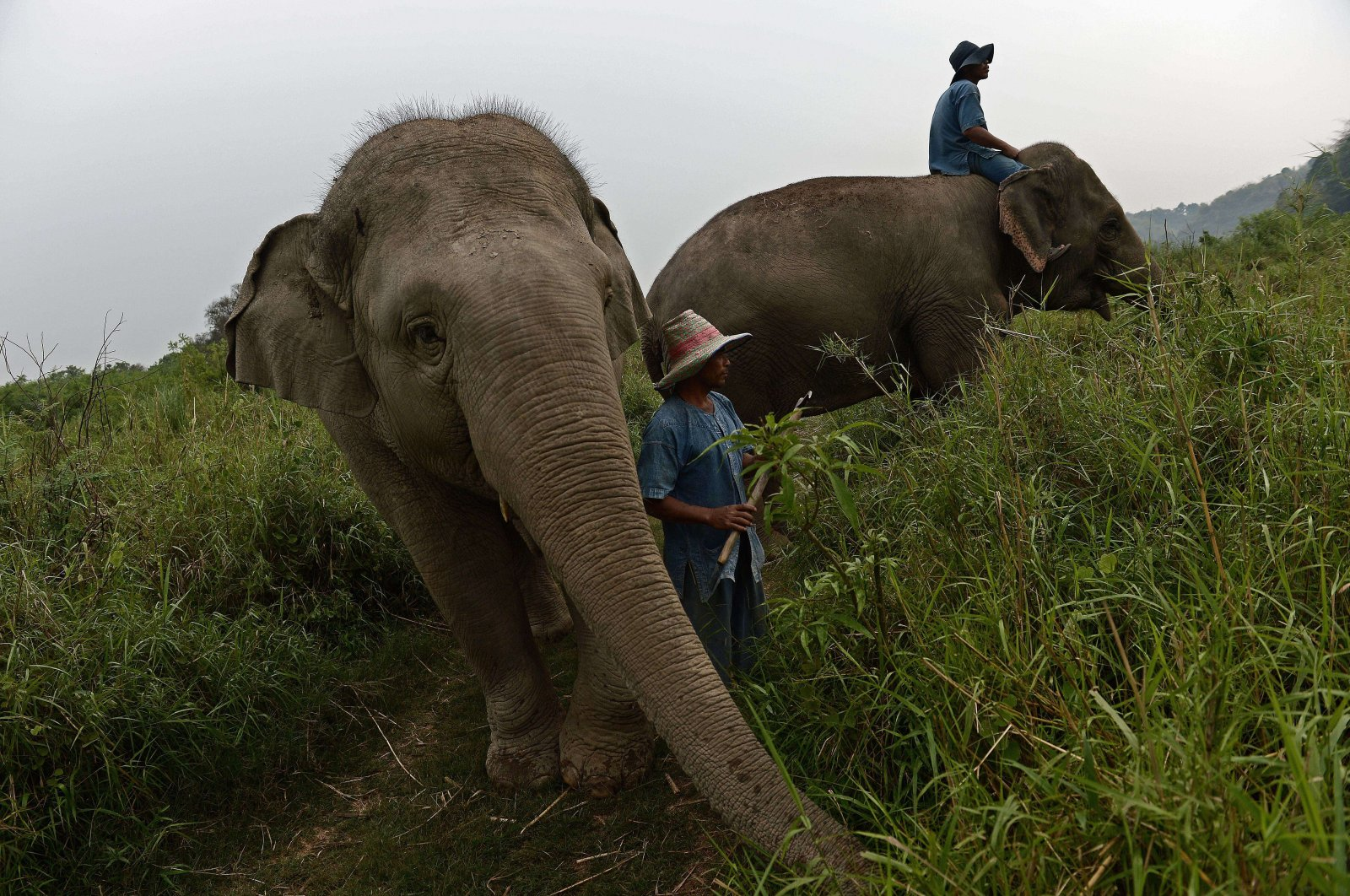 Mahouts riding elephants through a grassland at the luxury Anantara resort, home to the Golden Triangle Asian Elephant Foundation, in the Thai northern town of Chiang Saen, near the border with Myanmar and Laos, April 9, 2015. (AFP Photo)