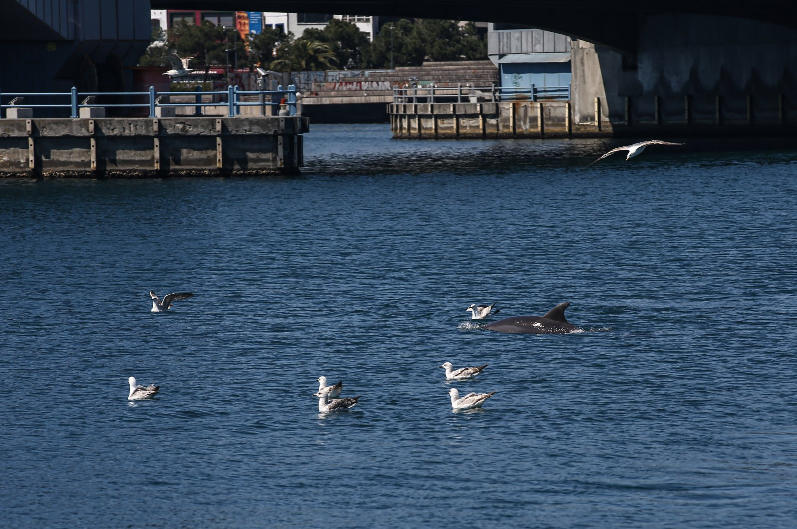 A dolphin swimming among seagulls in Istanbul's Eminönü, Saturday, April 18, 2020. (AA Photo)