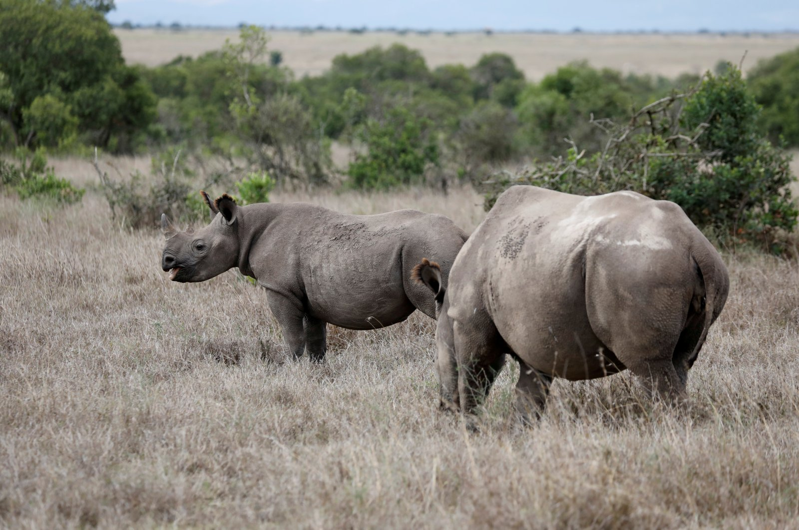 A black rhino calf (L) and its mother are seen at the Ol Pejeta Conservancy in Laikipia national park near Nanyuki, Kenya, May 22, 2019. (Reuters Photo)