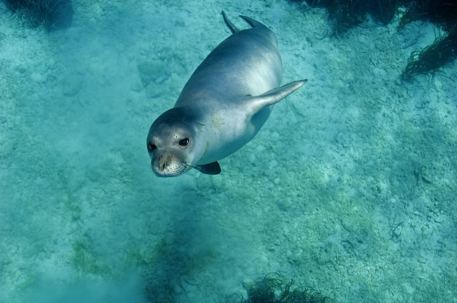 A Mediterranean monk seal dives into the water, Gökova, Turkey. (Shutterstock Photo)
