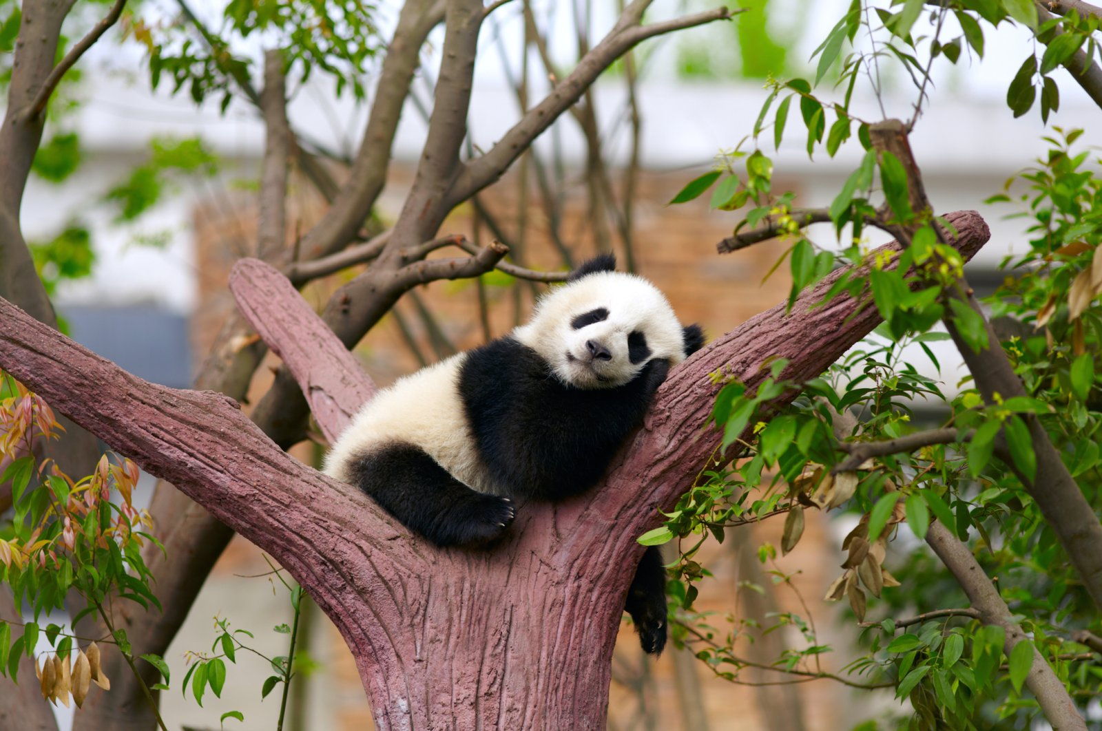 Along with local sea turtles, pandas are the most adopted species in Turkey as part of a wildlife adoption program. (iStock Photo)