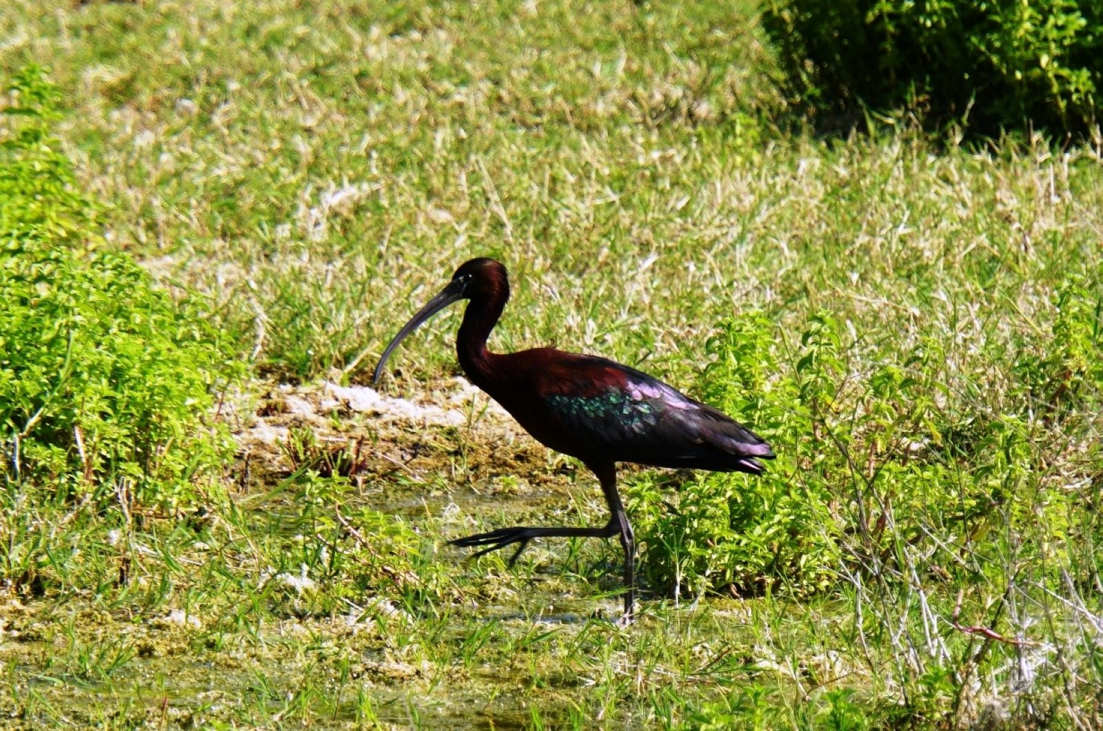 A glossy ibis photographed for the first time in a wetland area of Bodrum, Muğla province, Turkey, April 27, 2020. (İHA Photo)