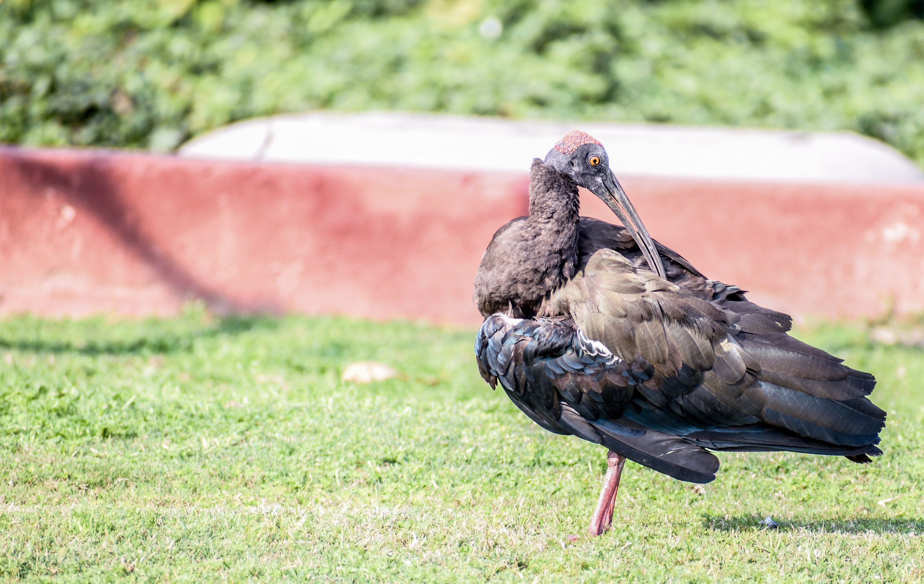 A giant ibis grooming itself