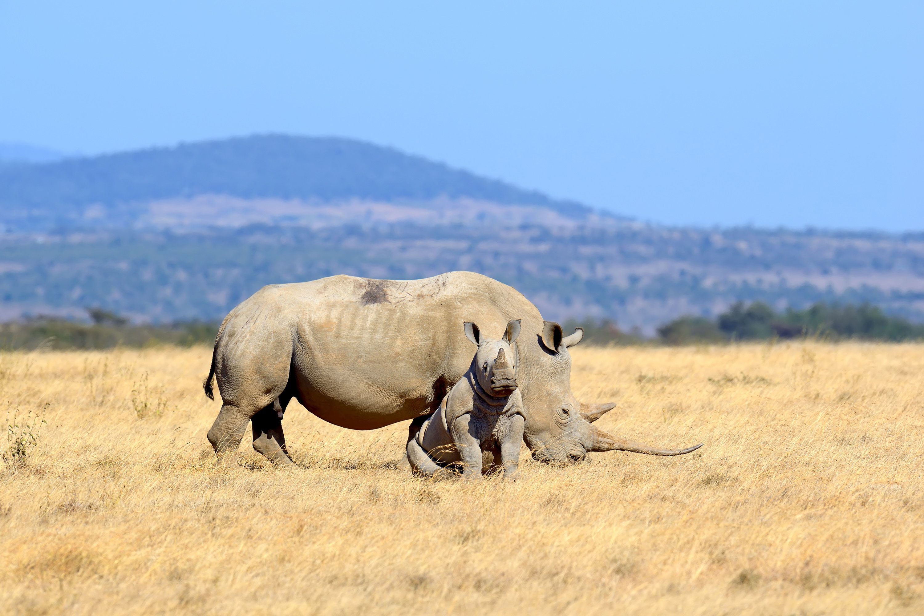 African white rhinos in the National park of Kenya