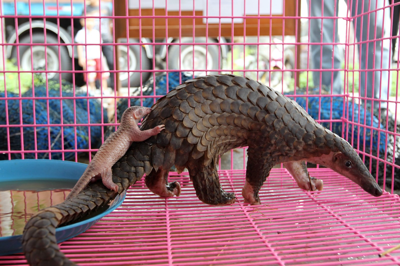 A newborn confiscated smuggled baby pangolin with its mother inside a cage during a news conference in Bangkok, Thailand, April 20, 2011. (EPA Photo)