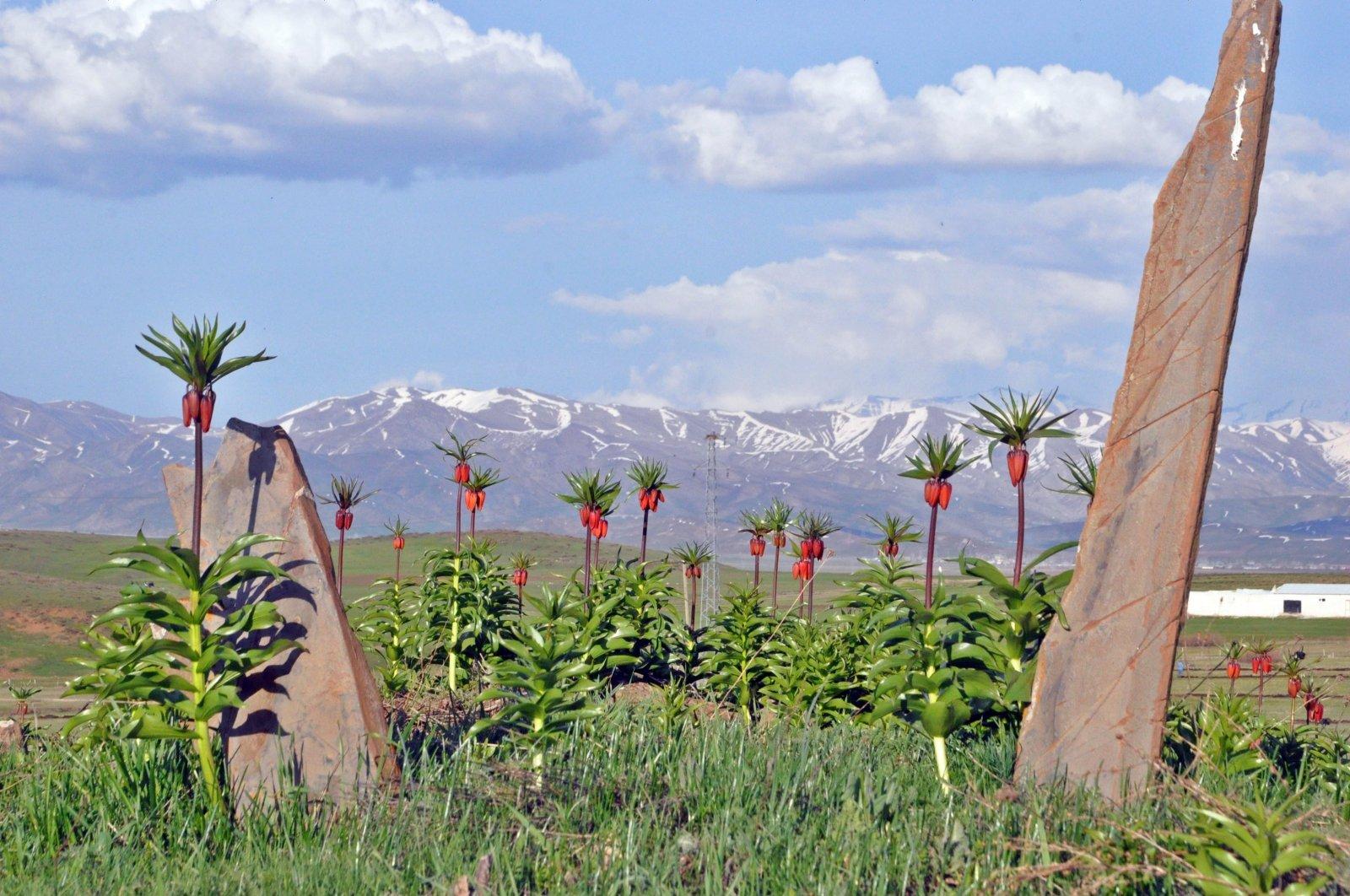 Reverse tulips have already bloomed in the plains of Yüksekova in Hakkari. (IHA Photo)