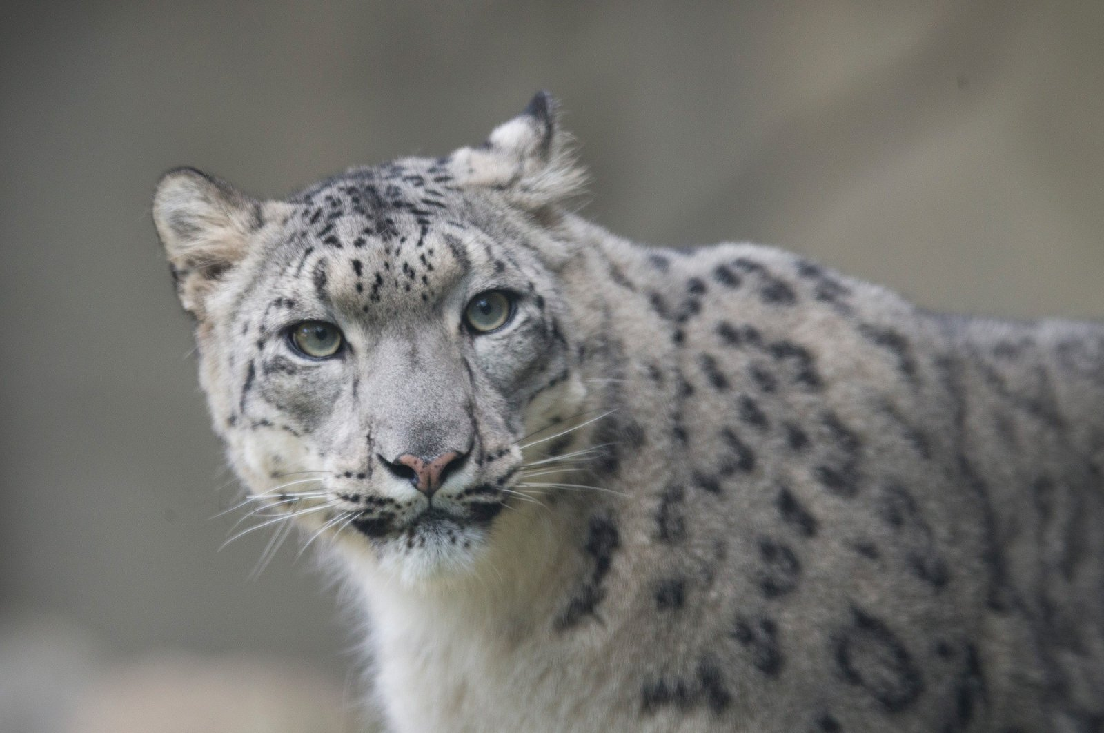 A female snow leopard explores her habitat at the Brookfield Zoo in Brookfield, Illinois, U.S., Oct. 7, 2015. (Getty Images/AFP Photo)