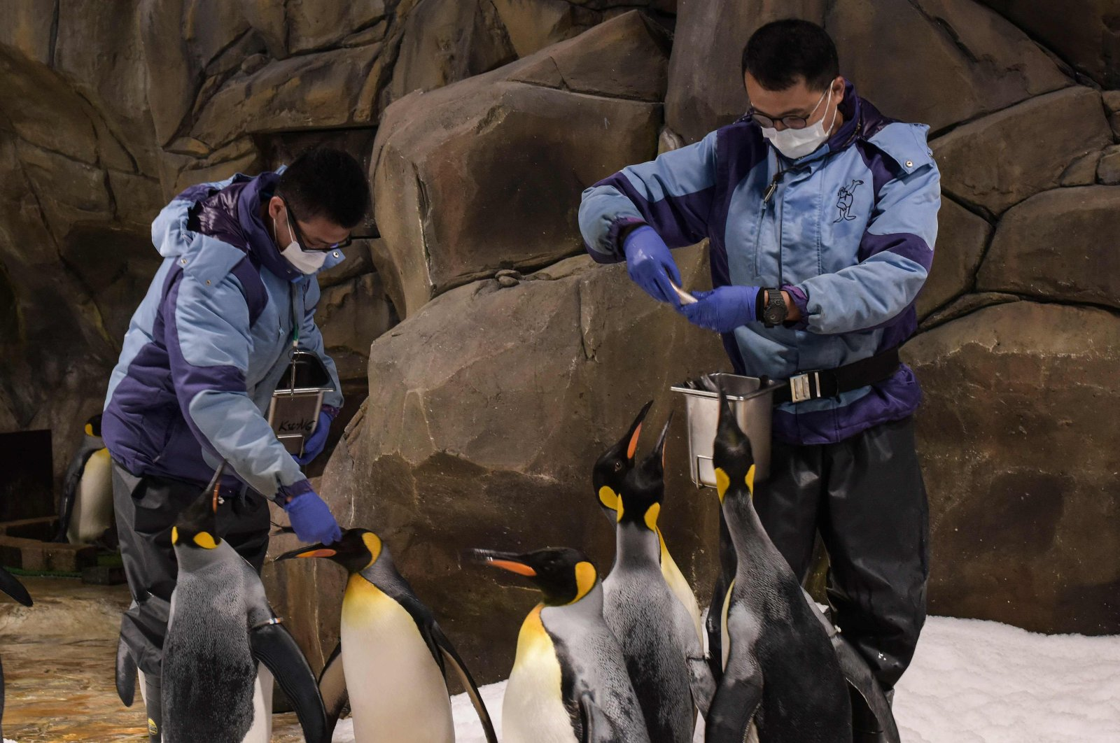 King penguins are fed in their enclosure at the Ocean Park theme park, which is currently closed due to the COVID-19 novel coronavirus, in Hong Kong, May 4, 2020. (AFP Photo)