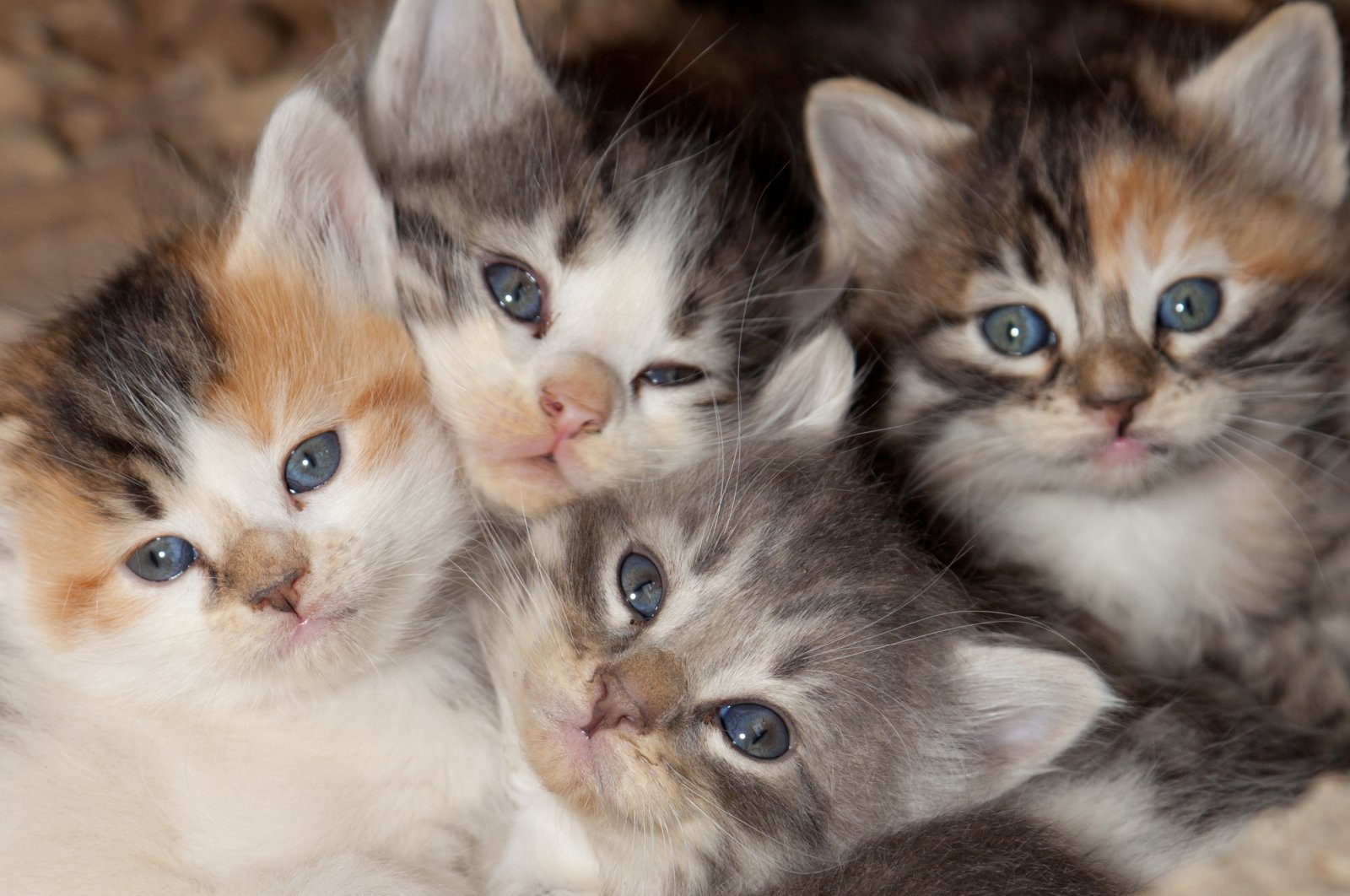 A litter of calico kittens. (Shutterstock Photo)