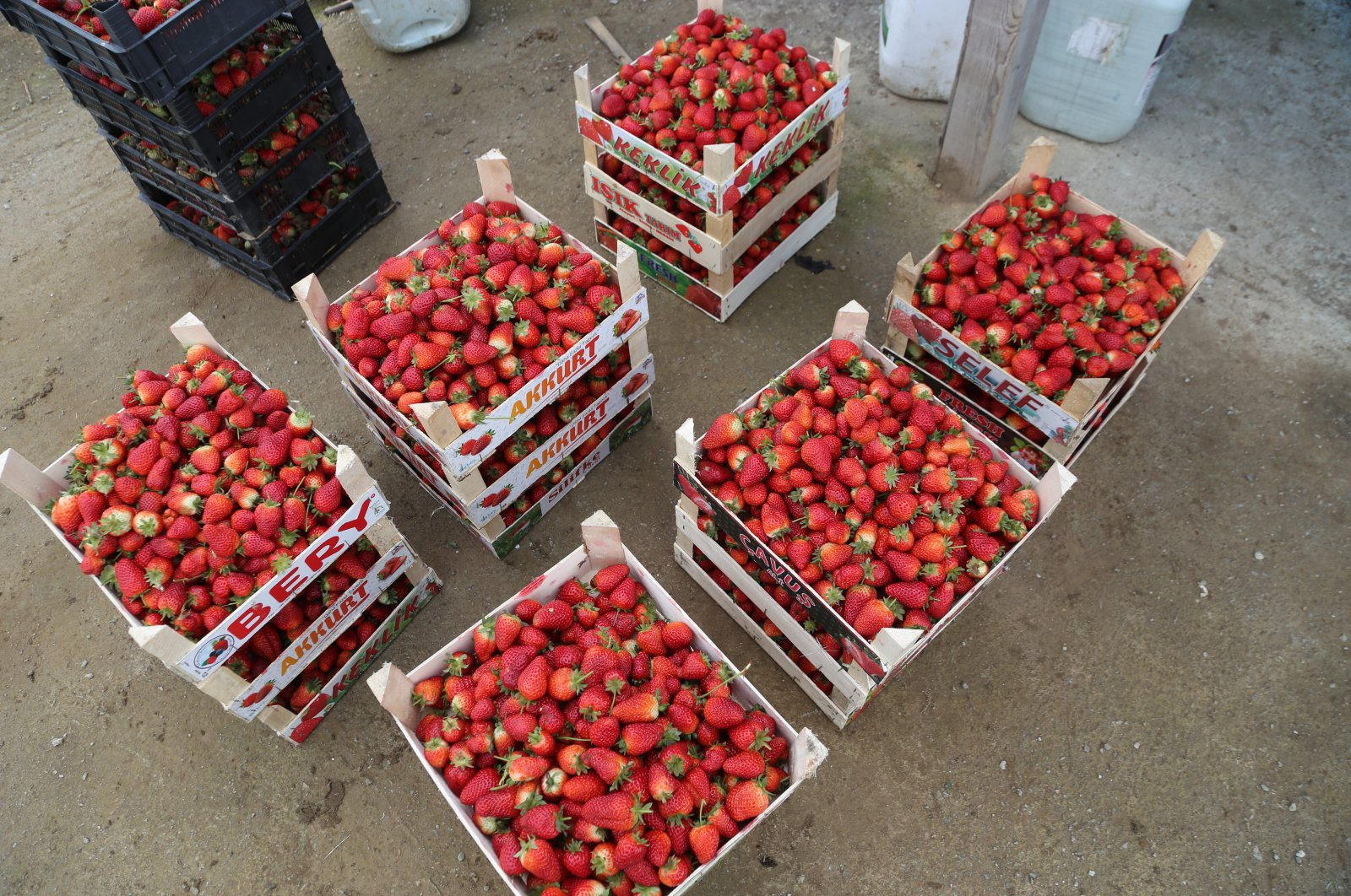 Strawberry production reached up to 1,000 tons annually in Ordu province in Turkey's Black Sea region, a region famous for hazelnut production, April 5, 2020. (AA Photo)
