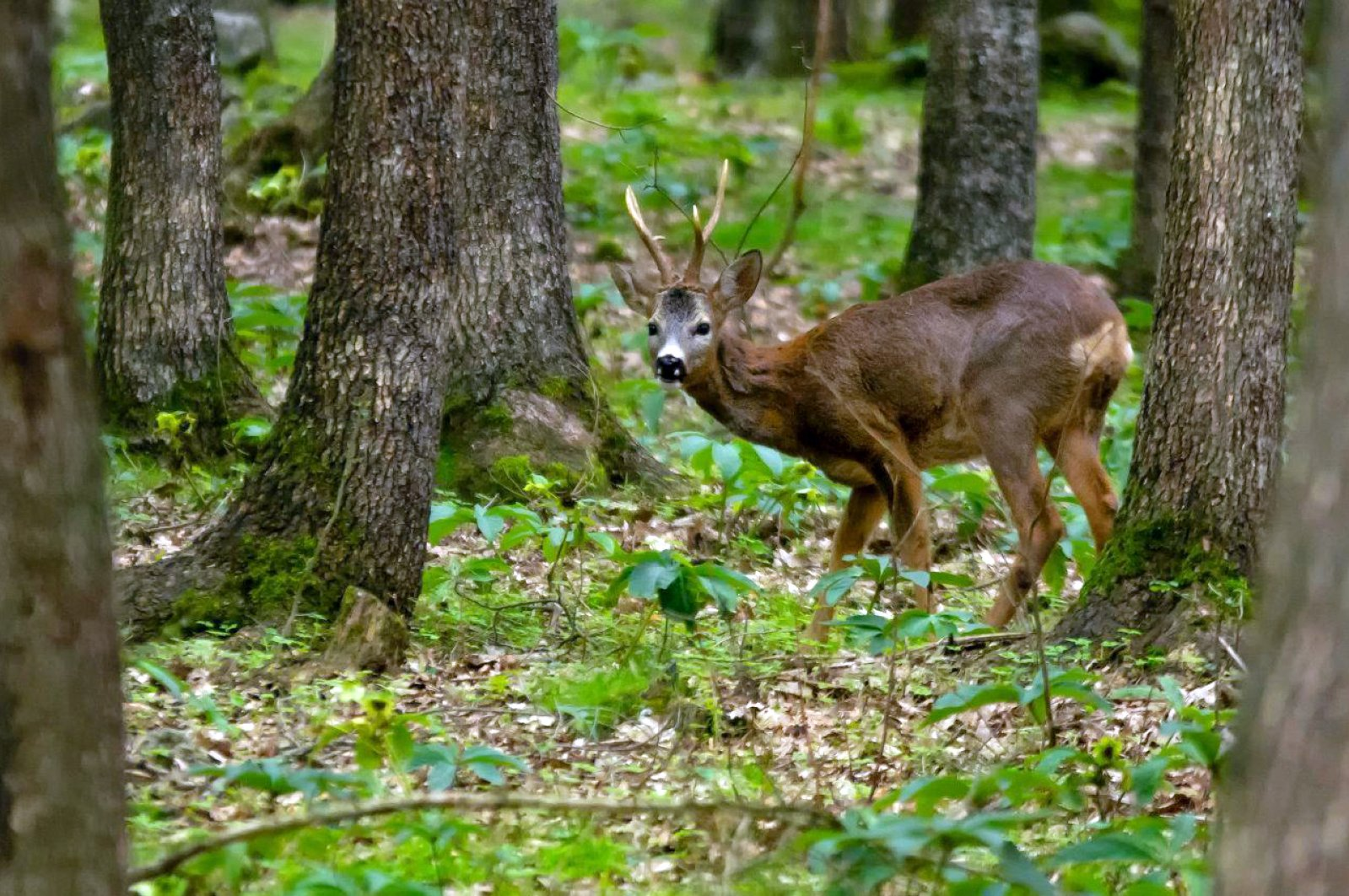 A fallow deer walks in the forest in their breeding ground, in Antalya, Turkey, May 7, 2020. (DHA Photo)