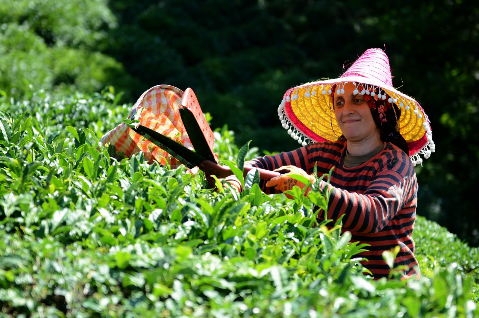 In this undated photo, a woman trims tea leaves in Rize, Turkey. (AA Photo)