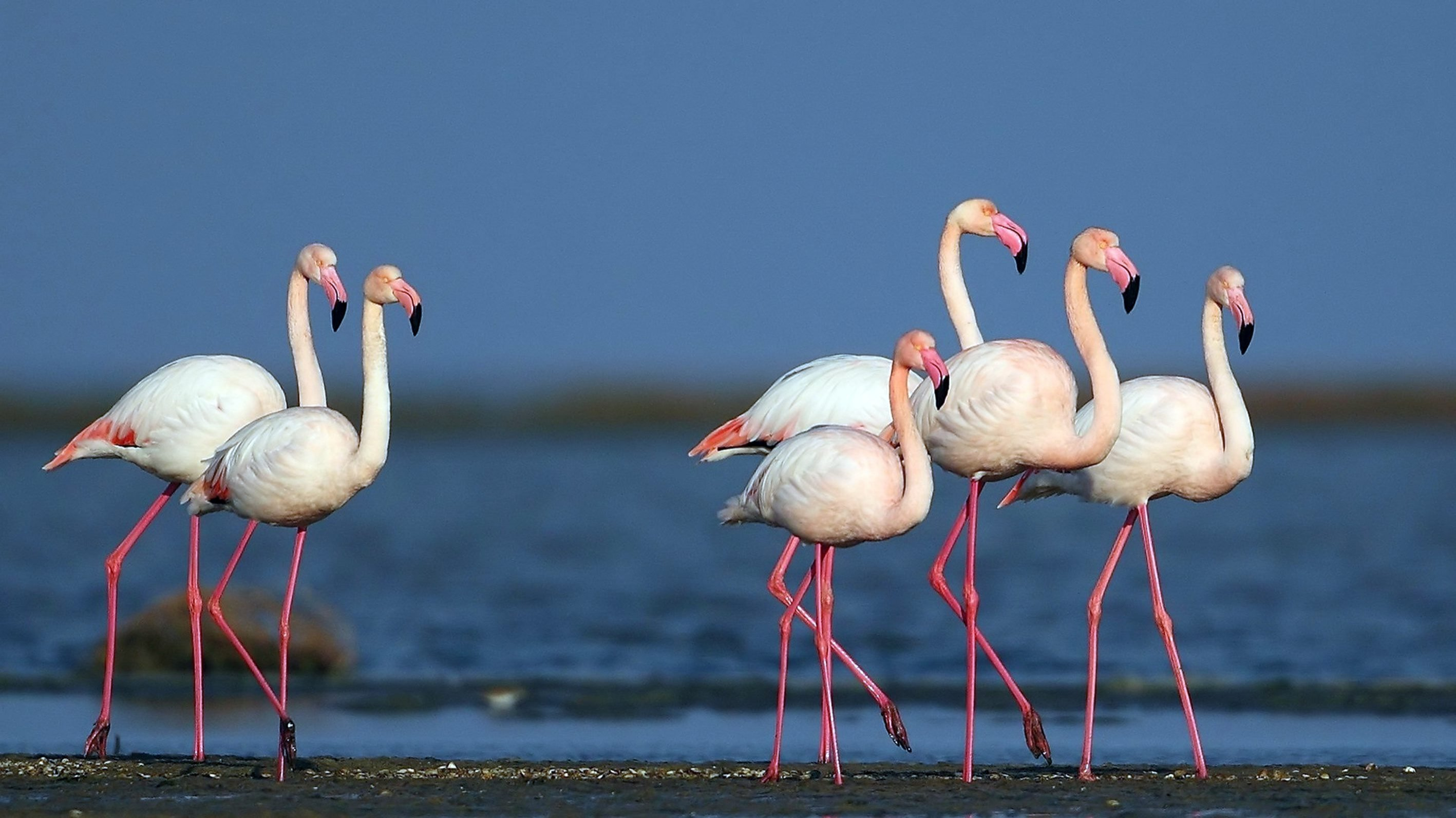 Flamingos also stop for a breather in Lake Seyfe every year in the central Anatolian province of Kırşehir, Turkey. (File Photo)