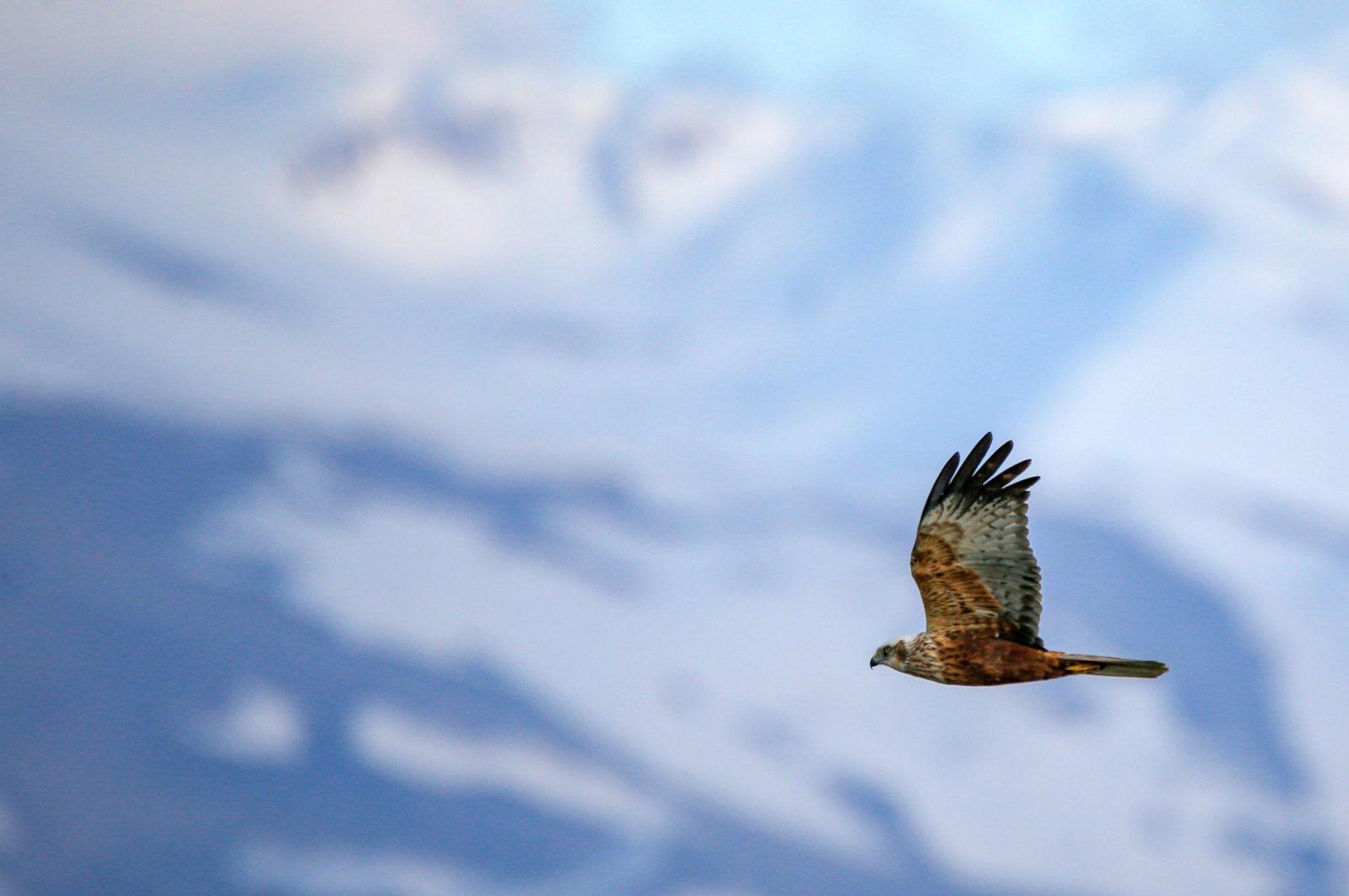A long-legged buzzard is seen soaring over Lake Van in eastern Turkey. (AA Photo)