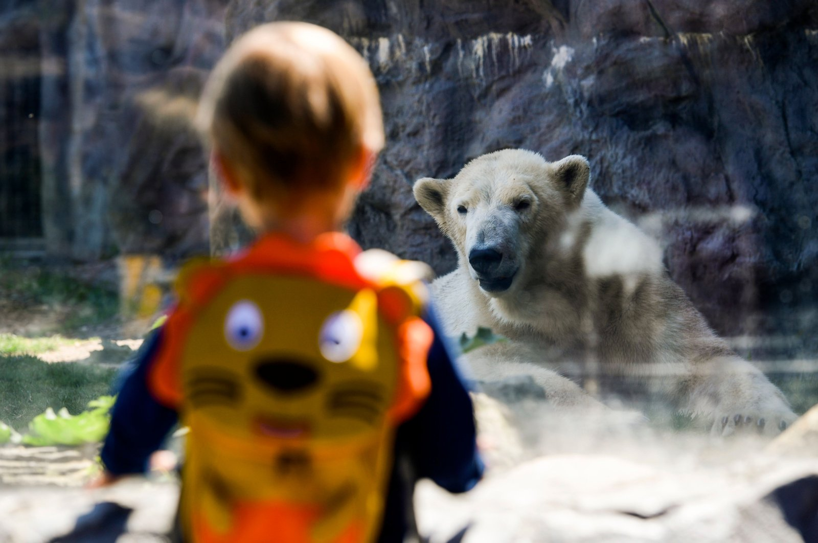 A child stands in front of a polar bear at the ZOOM Erlebniswelt Gelsenkirchen zoo, Gelsenkirchen, Germany, May 7, 2020. (AFP Photo)