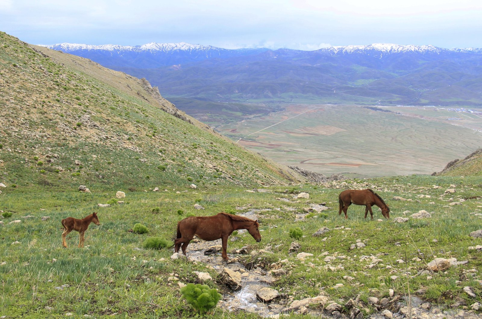 Yılkı horses graze the grassy plateaus of the Mercan Mountains in the Ovacık district of Tunceli province, Turkey, May 11, 2020. (AA Photo)
