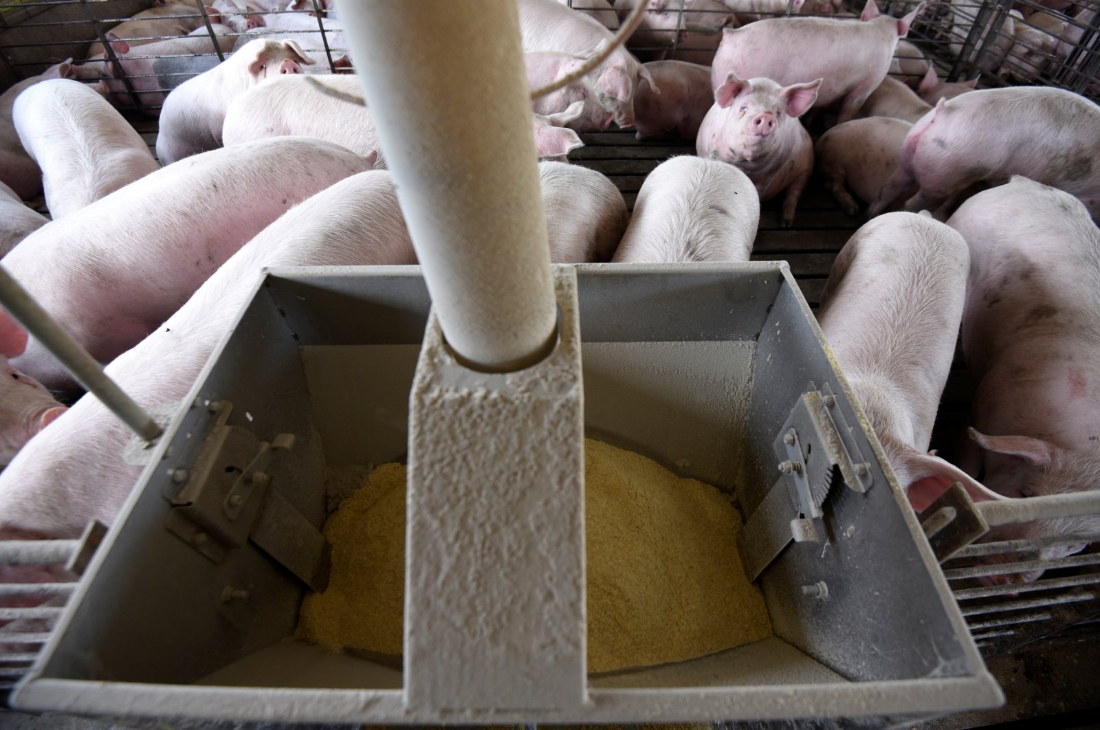 Hog farmer Mike Patterson's diet pig feed, which is part of his efforts to slow how quickly his animals fatten up, a necessity caused by coronavirus disease (COVID-19) related supply chain disruptions, seen in one of his barns in Kenyon, Minnesota, U.S., April 23, 2020. (Reuters Photo)