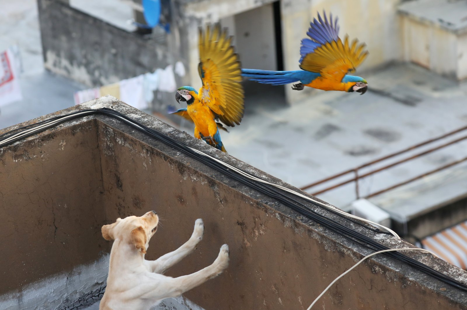 A dog reacts as macaws fly near a rooftop during a nationwide quarantine in Caracas, Venezuela due to the coronavirus outbreak that spread across the world, April 7, 2020. (Reuters Photo)