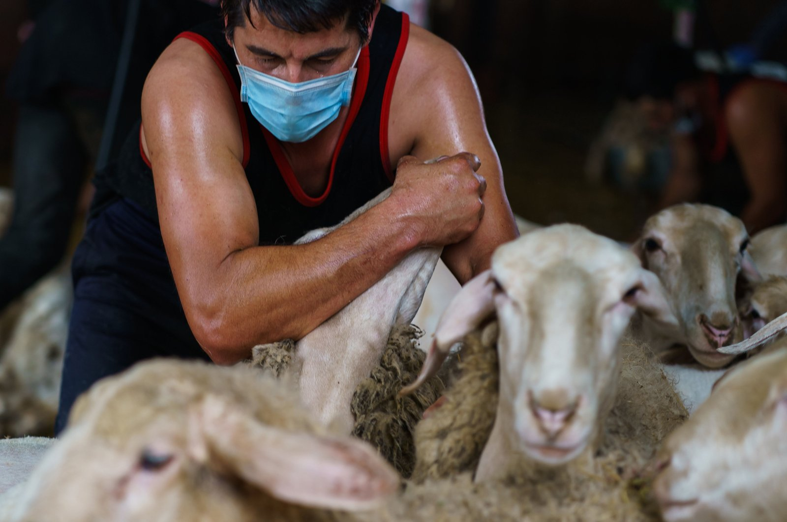 An Uruguayan sheep shearer works at a cattle farm in Leon province's Villabraz in northern Spain, May 15, 2020. (AFP Photo)