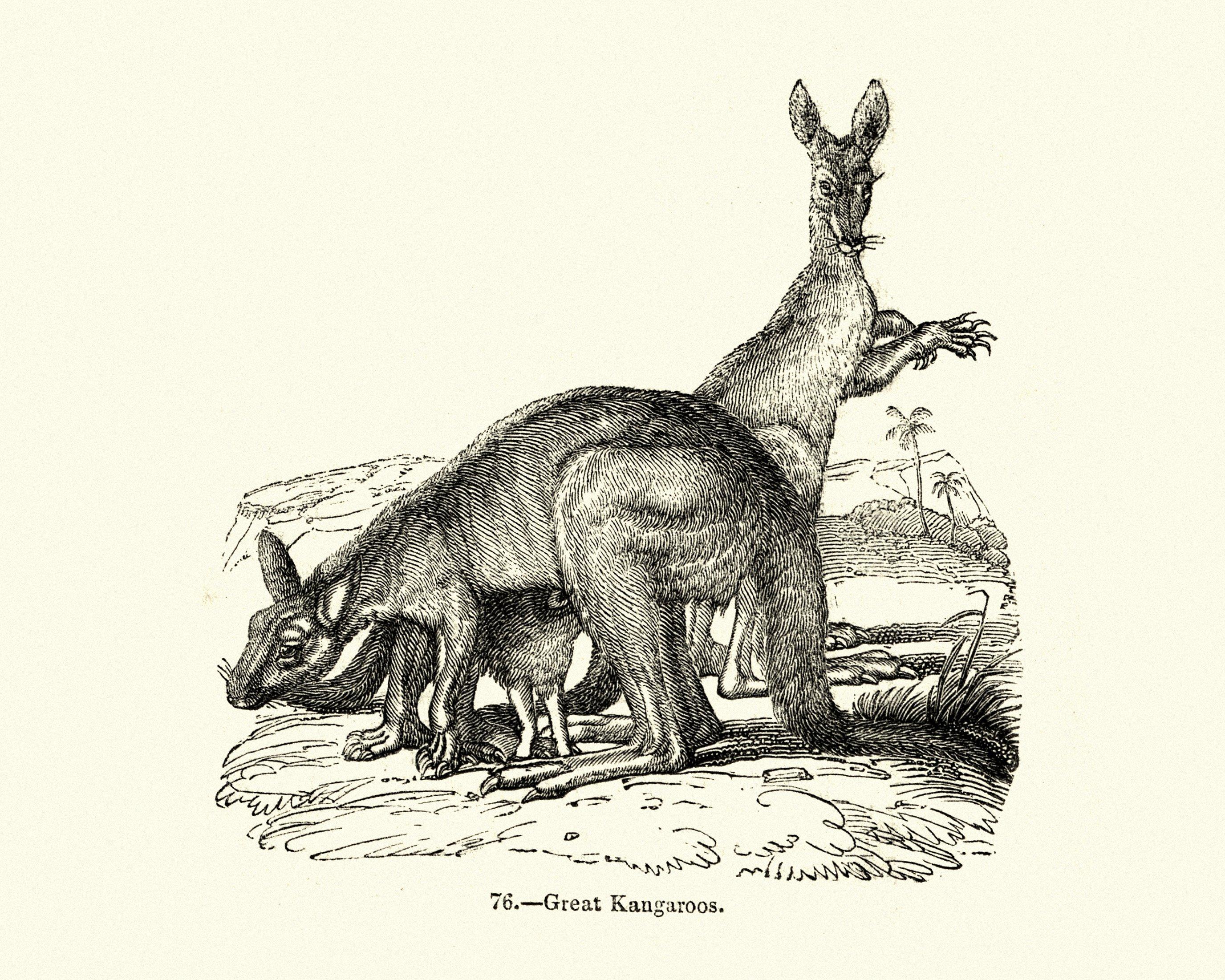有袋动物,伟大的袋鼠的复古雕刻。 (iStock Photo)