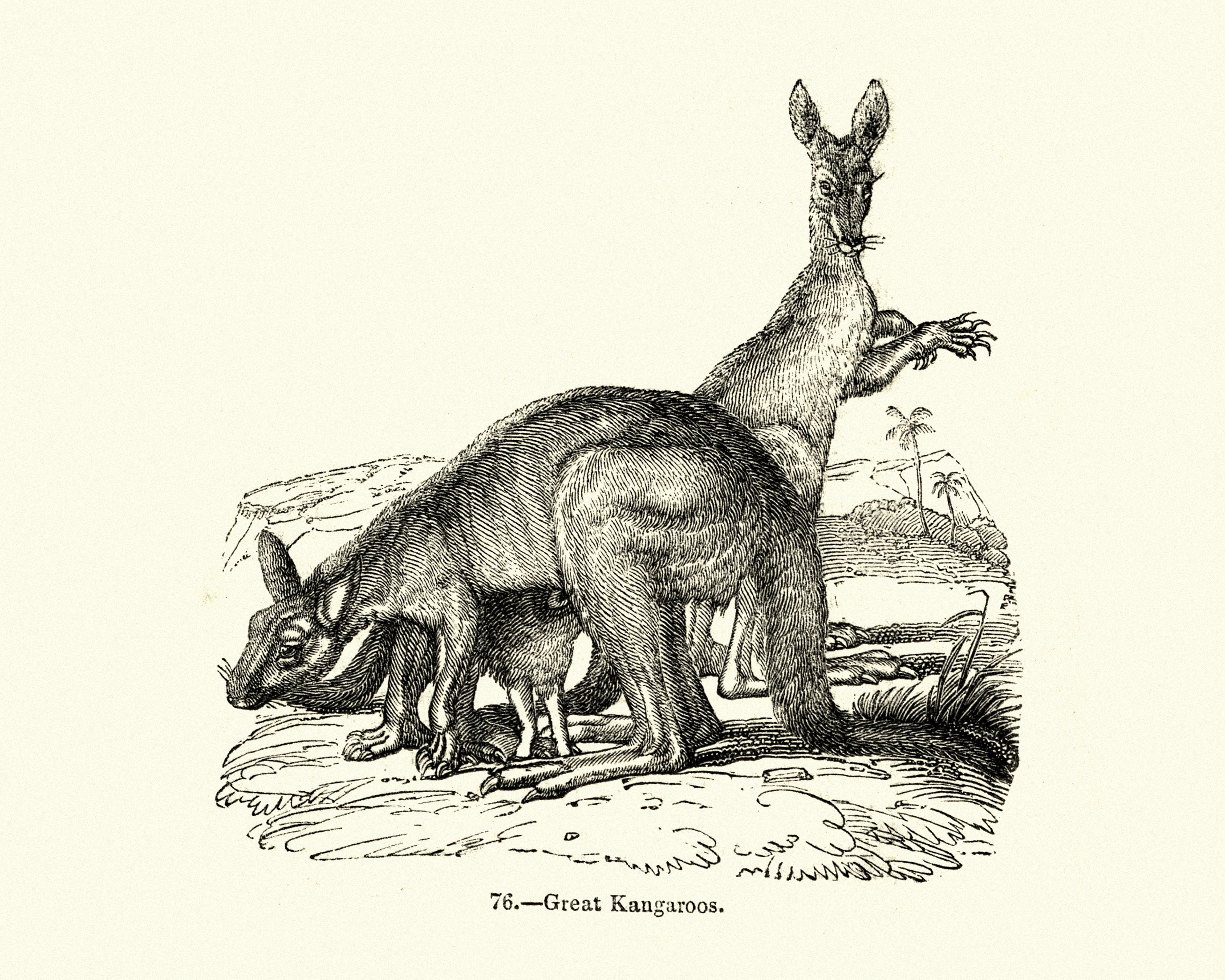Vintage engraving of a marsupial, the great kangaroo. (iStock Photo)
