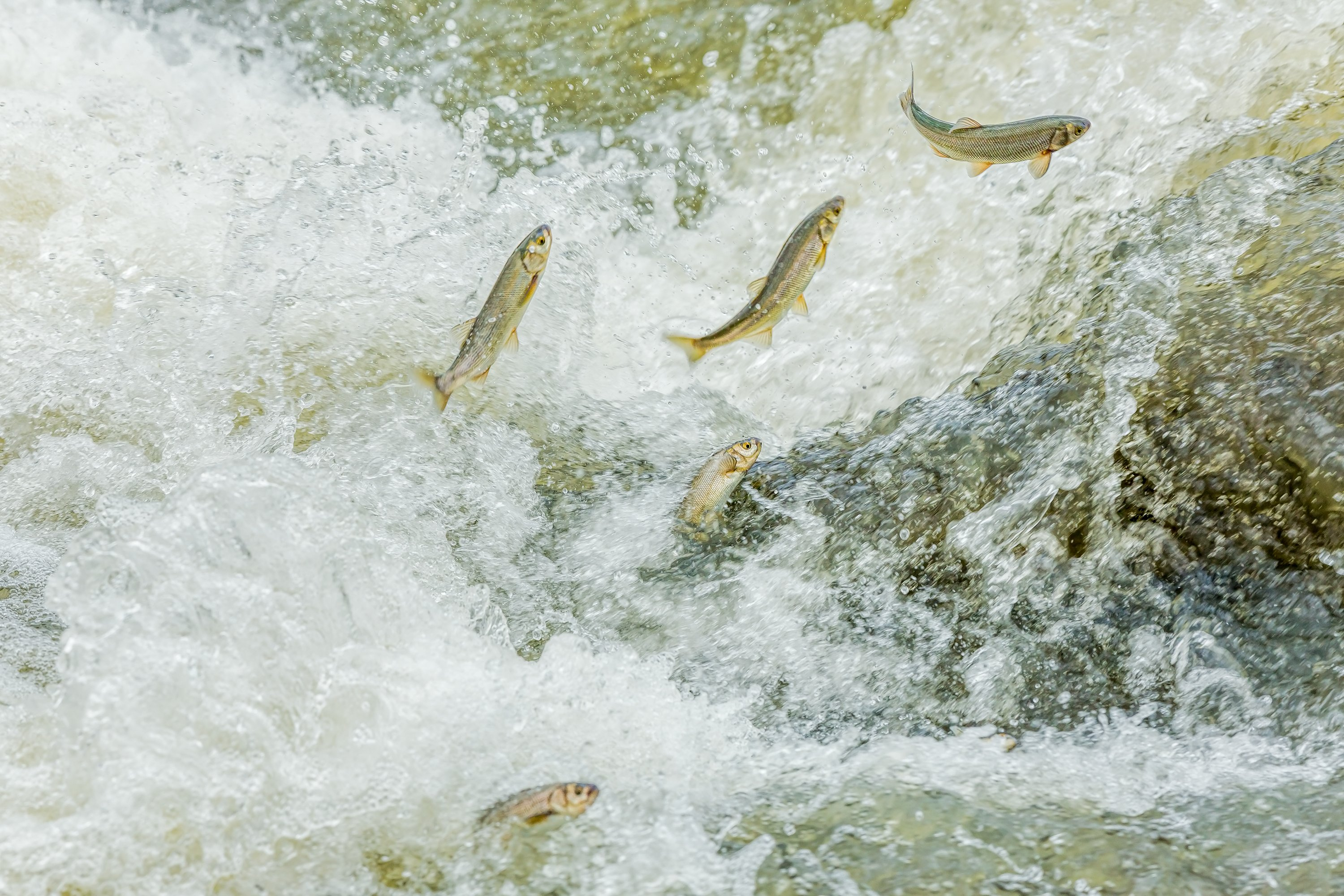 During May and June, the fish migrate from the lake to the rivers for spawning. (iStock Photo)