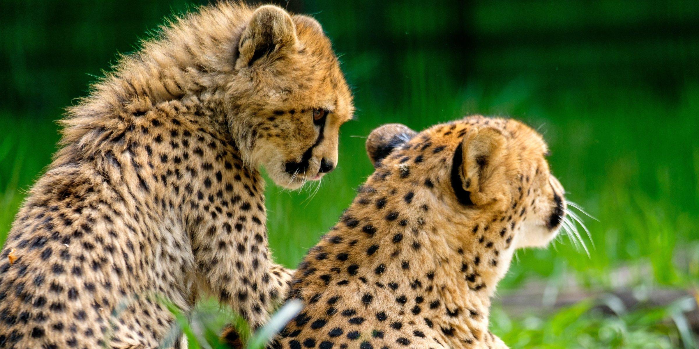 Cheetah | Wallpaper Zoom
