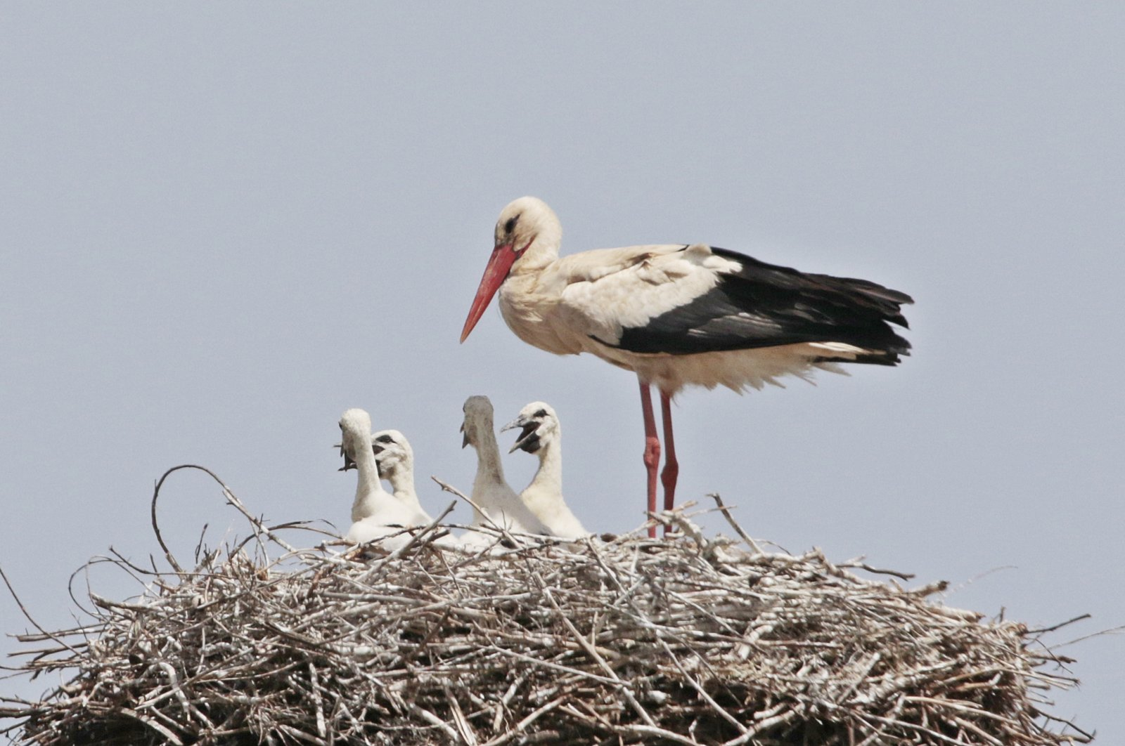 A white stork is seen with its young in Diyarbakır, Turkey, May 19, 2020. (DHA Photo)