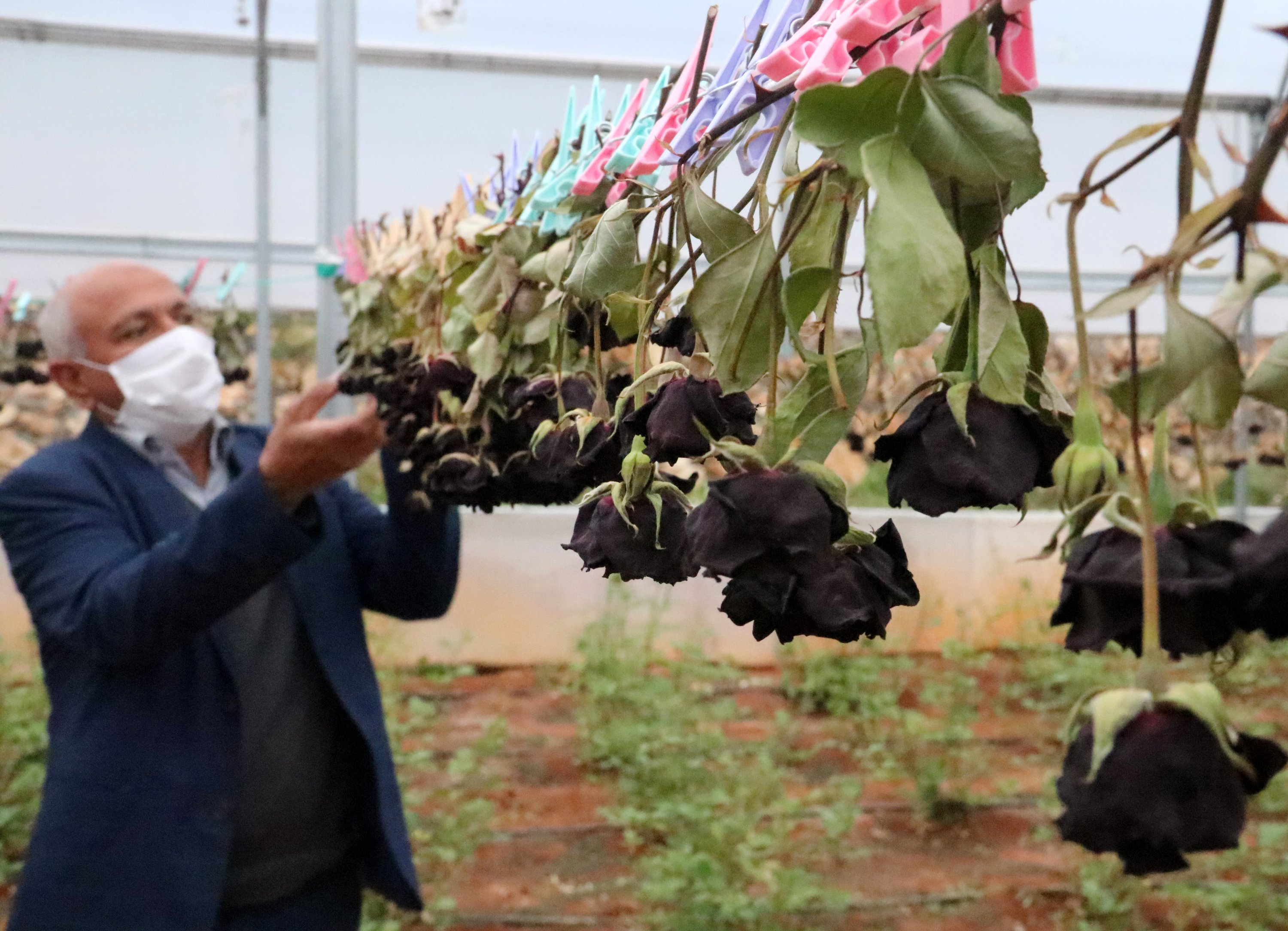 The harvest and drying of the black roses take place in the greenhouses, Halfeti, Şanlıurfa, Turkey. (AA Photo)