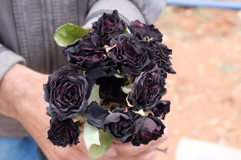 In full bloom, the black roses' petals turn a deep wine shade, Halfeti, Şanlıurfa, Turkey. (AA Photo)
