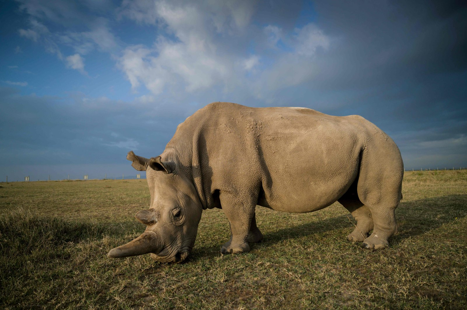 A northern white female rhino called Najin, 30, at the Ol Pejeta Conservancy, central Kenya, Aug. 21, 2019. (Ol Pejeta Conservancy / AFP Photo)