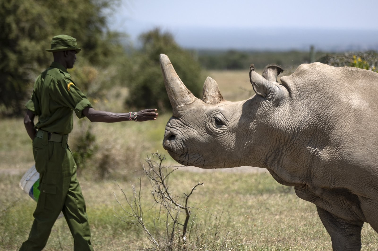 In this Friday, Aug. 23, 2019, file photo, a ranger reaches out toward female northern white rhino Najin, 30, one of the last two northern white rhinos on the planet, in her enclosure at Ol Pejeta Conservancy, Kenya. (AP File Photo)