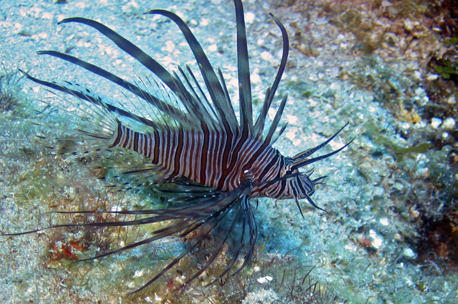A lionfish is seen on the reefs off Roatan, Honduras in this picture taken on May 5, 2010. (Reuters Photo)